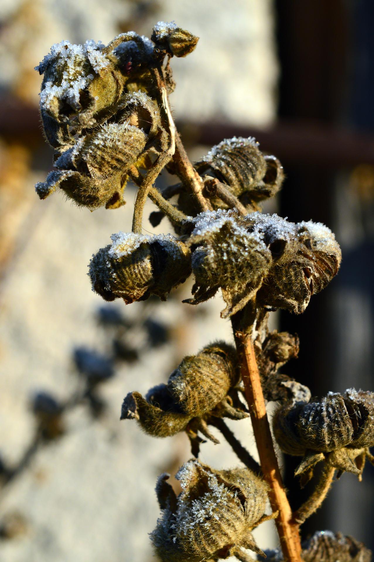 Naša prírodná perma záhradka v roku 2020 - topoľovky milujú stehlíky, tak nechávame semená