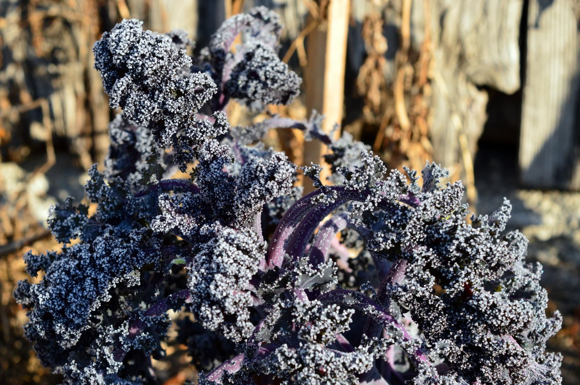 Naša prírodná perma záhradka v roku 2020 - brčkavý špenát