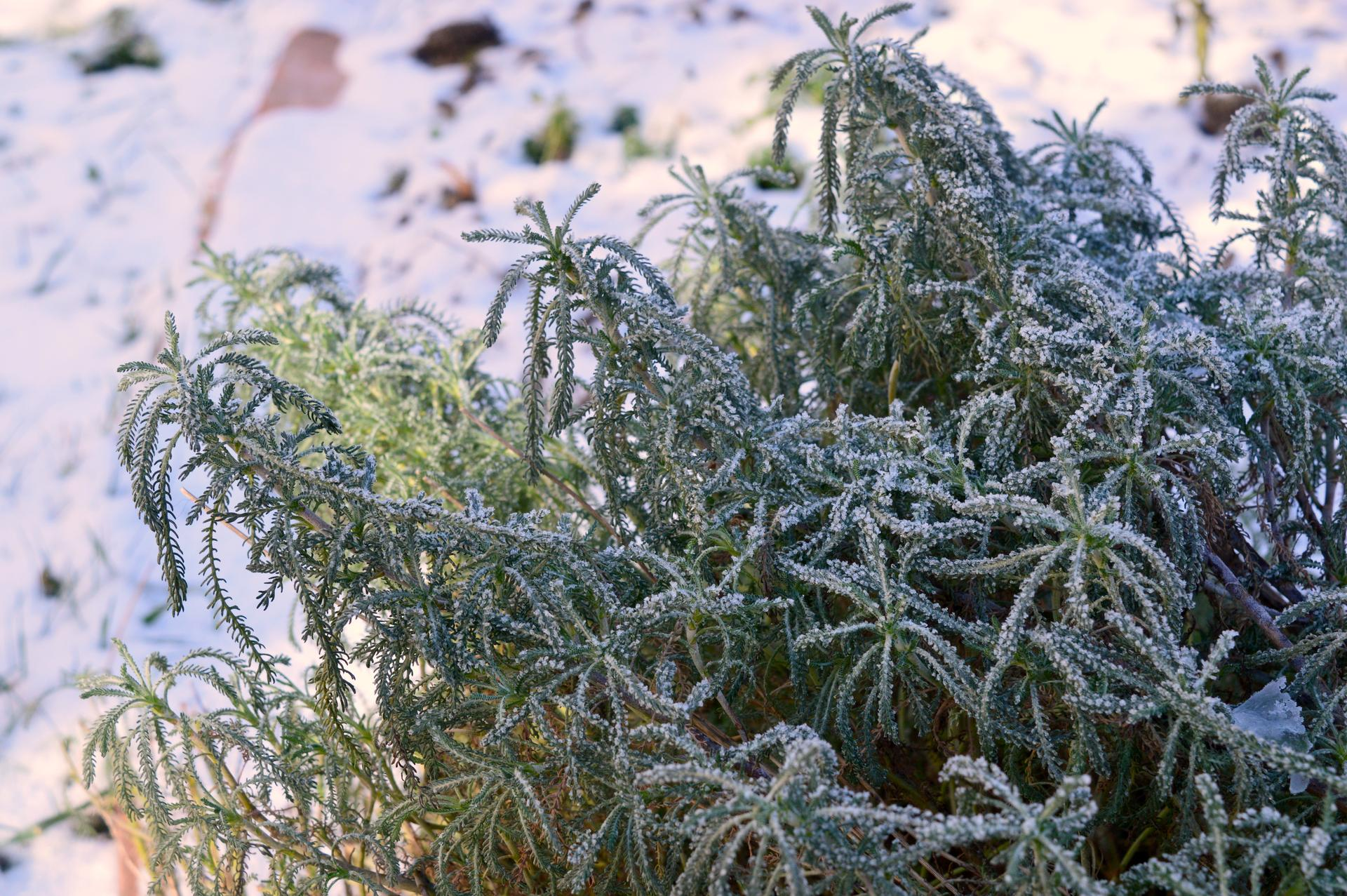 Naša prírodná perma záhradka v roku 2020 - santolína rozmarínolistá