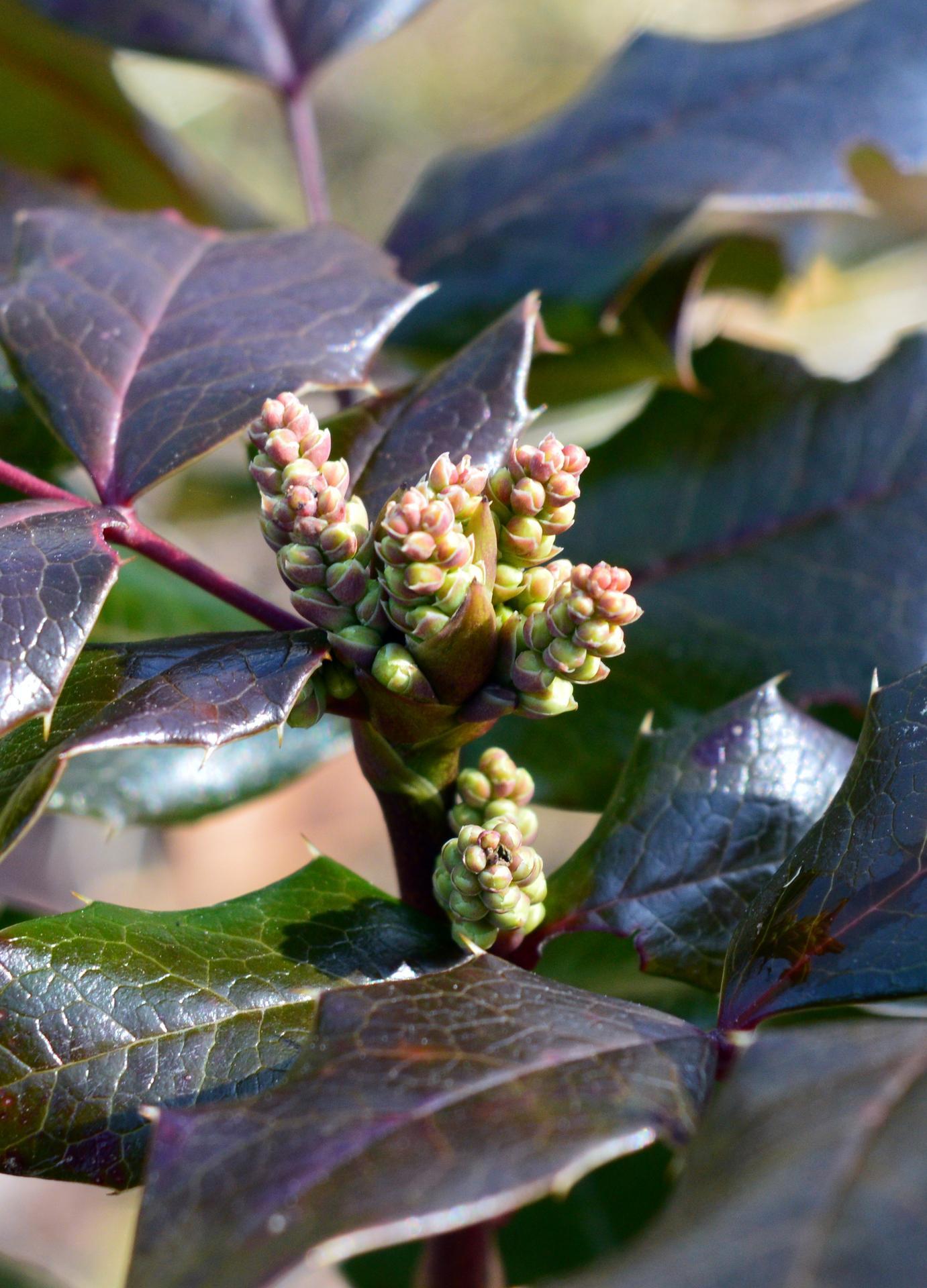 Naša prírodná perma záhradka v roku 2020 - 1. krát ide kvitnúť aj mahónia
