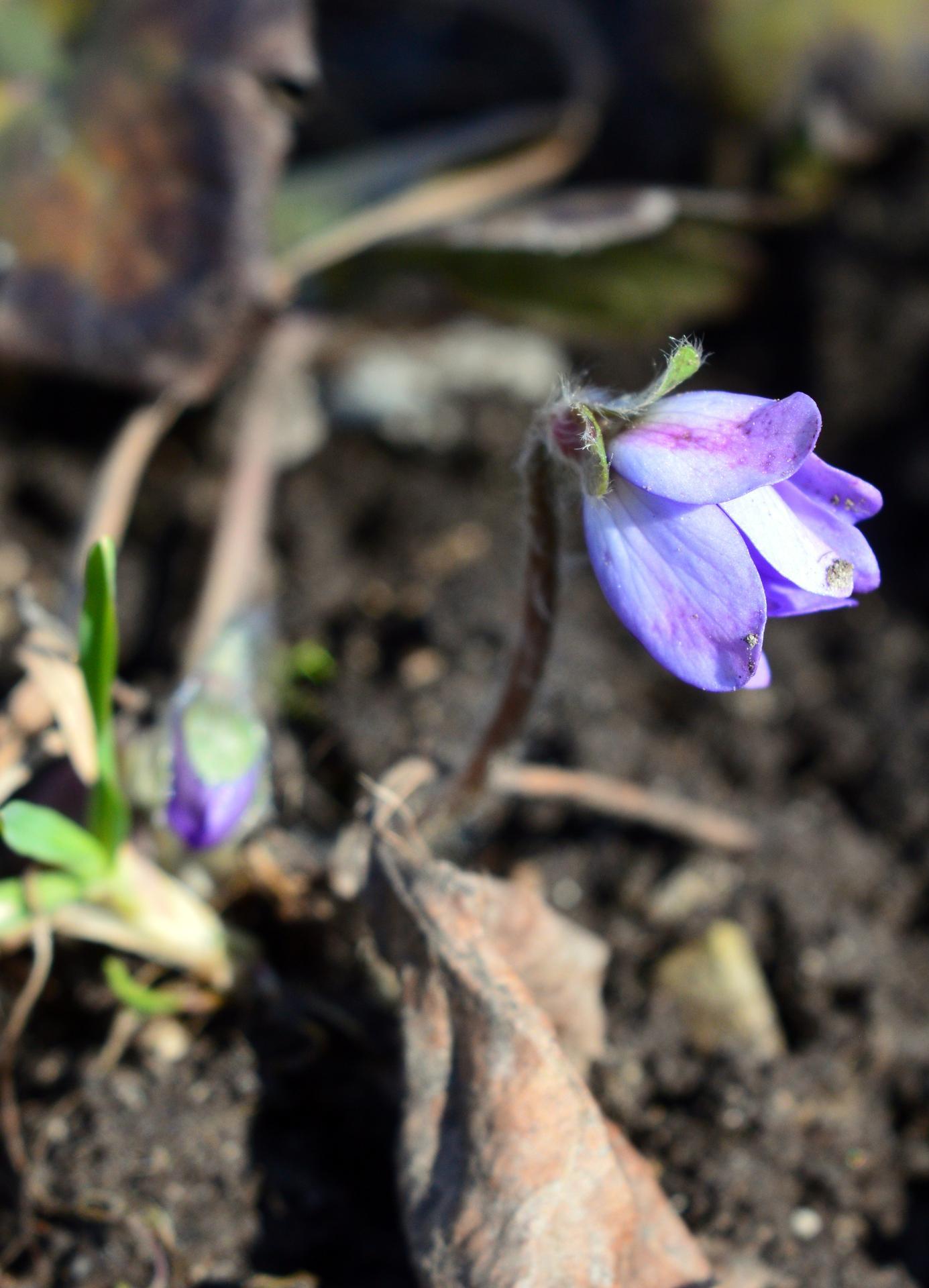 Naša prírodná perma záhradka v roku 2020 - pomaličky začínajú kvitnúť pečeňovníky