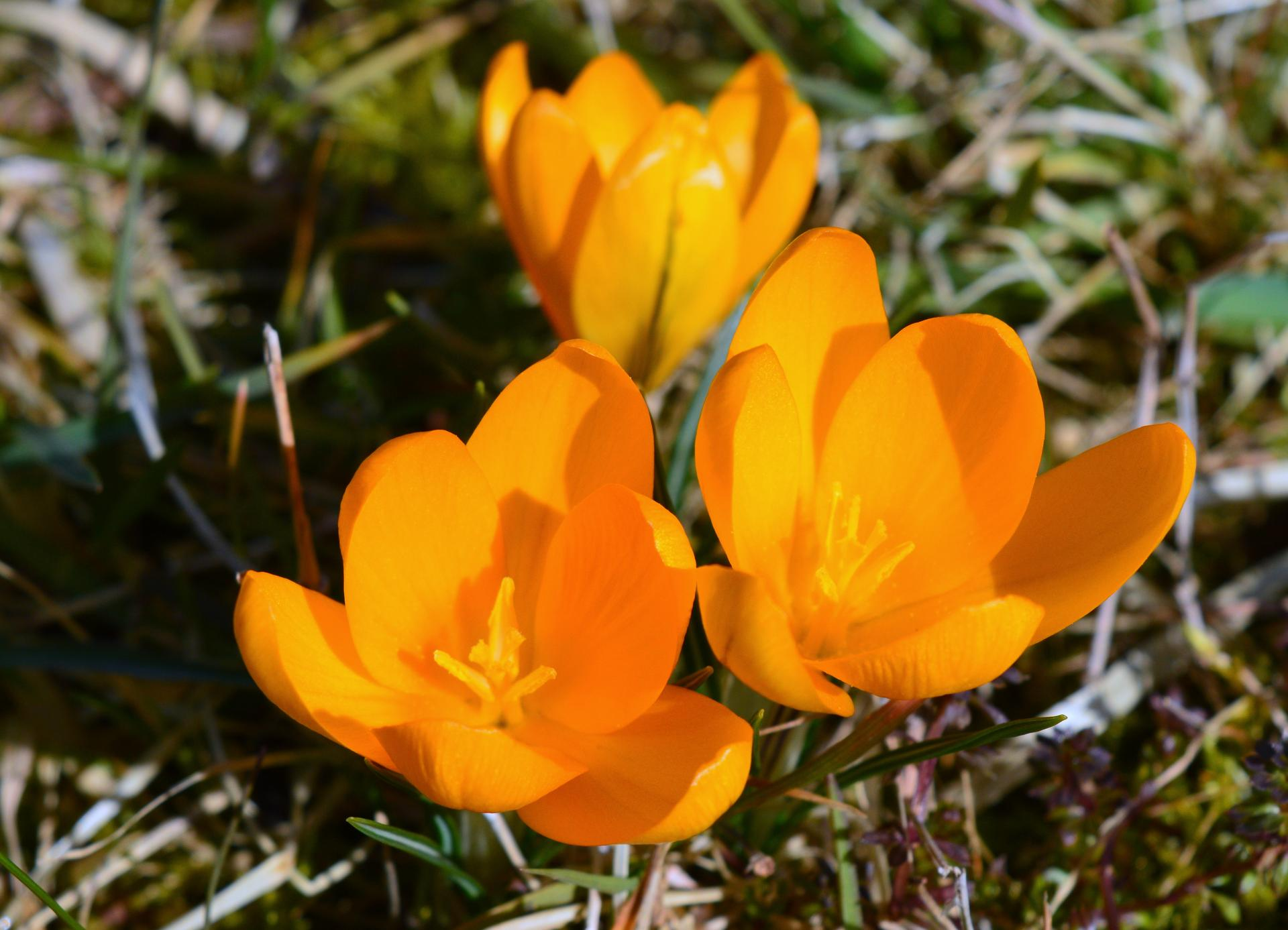 Naša prírodná perma záhradka v roku 2020 - tieto slniečka krásne vyniknú v polooschnutej tráve