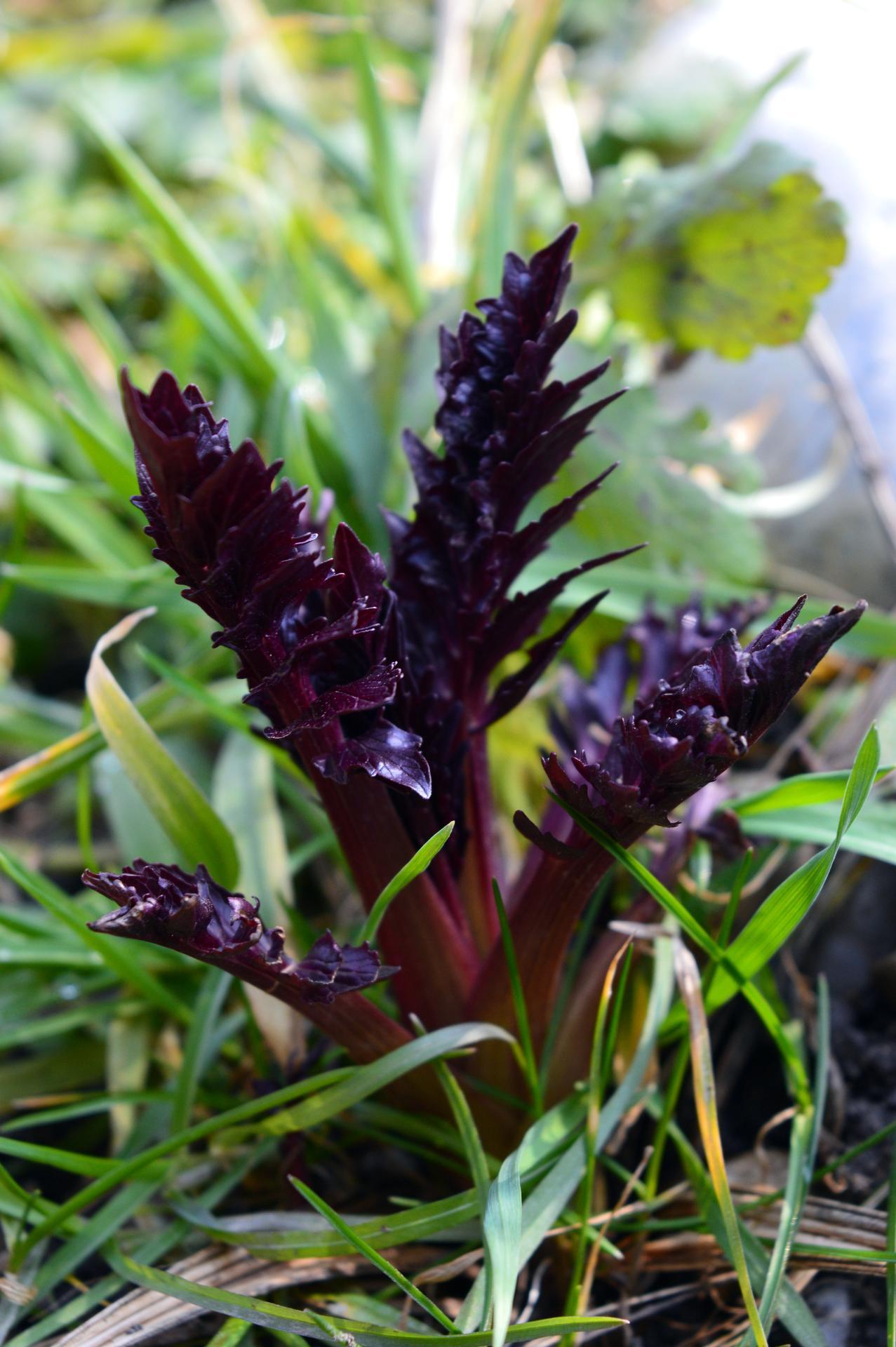 Naša prírodná perma záhradka v roku 2020 - valeriána, zatiaľ 1 zo 4, hádam ostatné prežili zimu ....