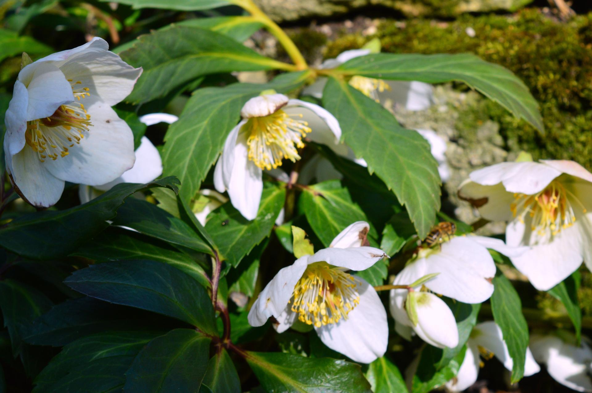 Naša prírodná perma záhradka v roku 2020 - čemerice idú od novembra, včielky si to užívajú