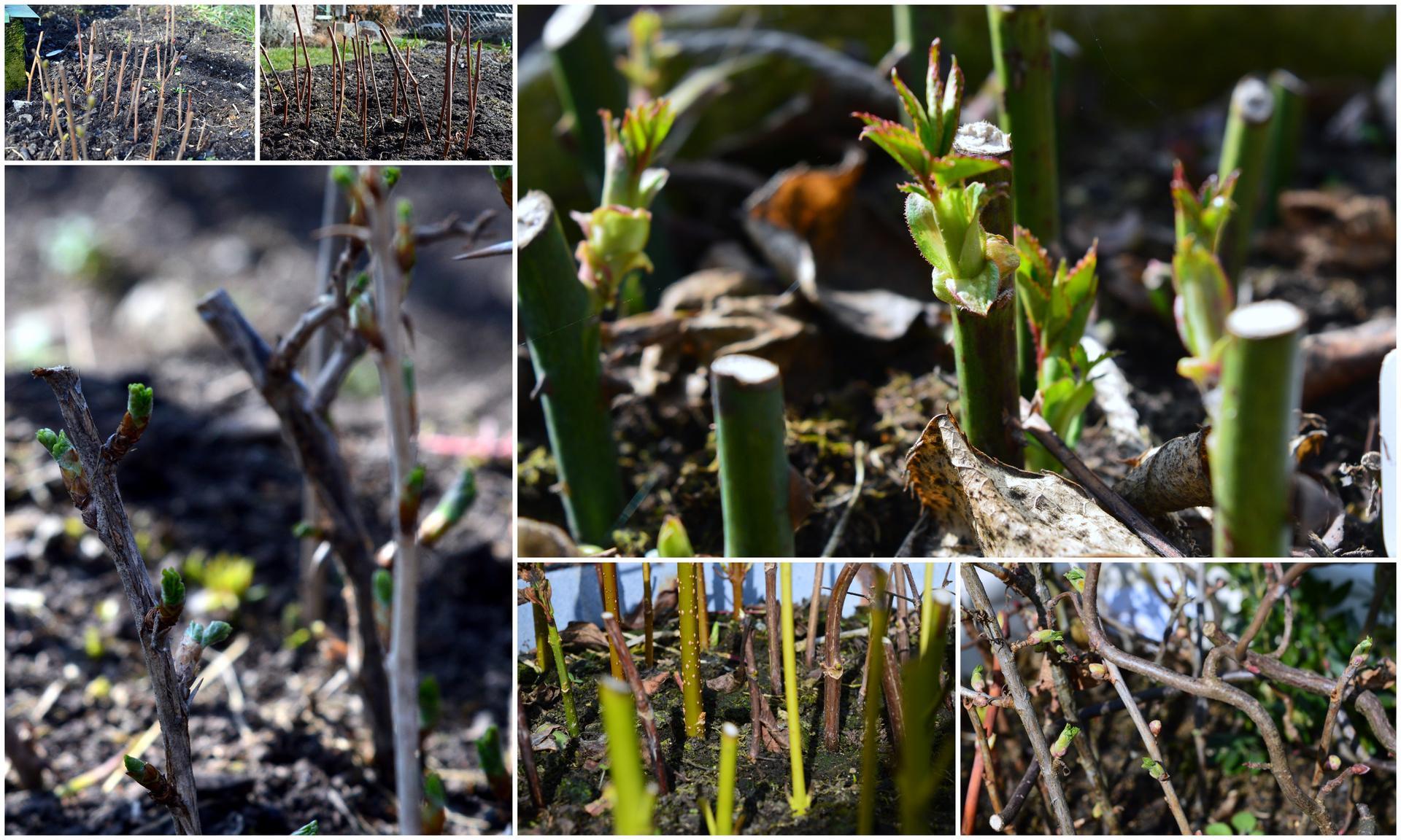 Naša prírodná perma záhradka v roku 2020 - no a množíme všetky kríky, jedlé aj okrasné, bude ich habakúúúúk :-)