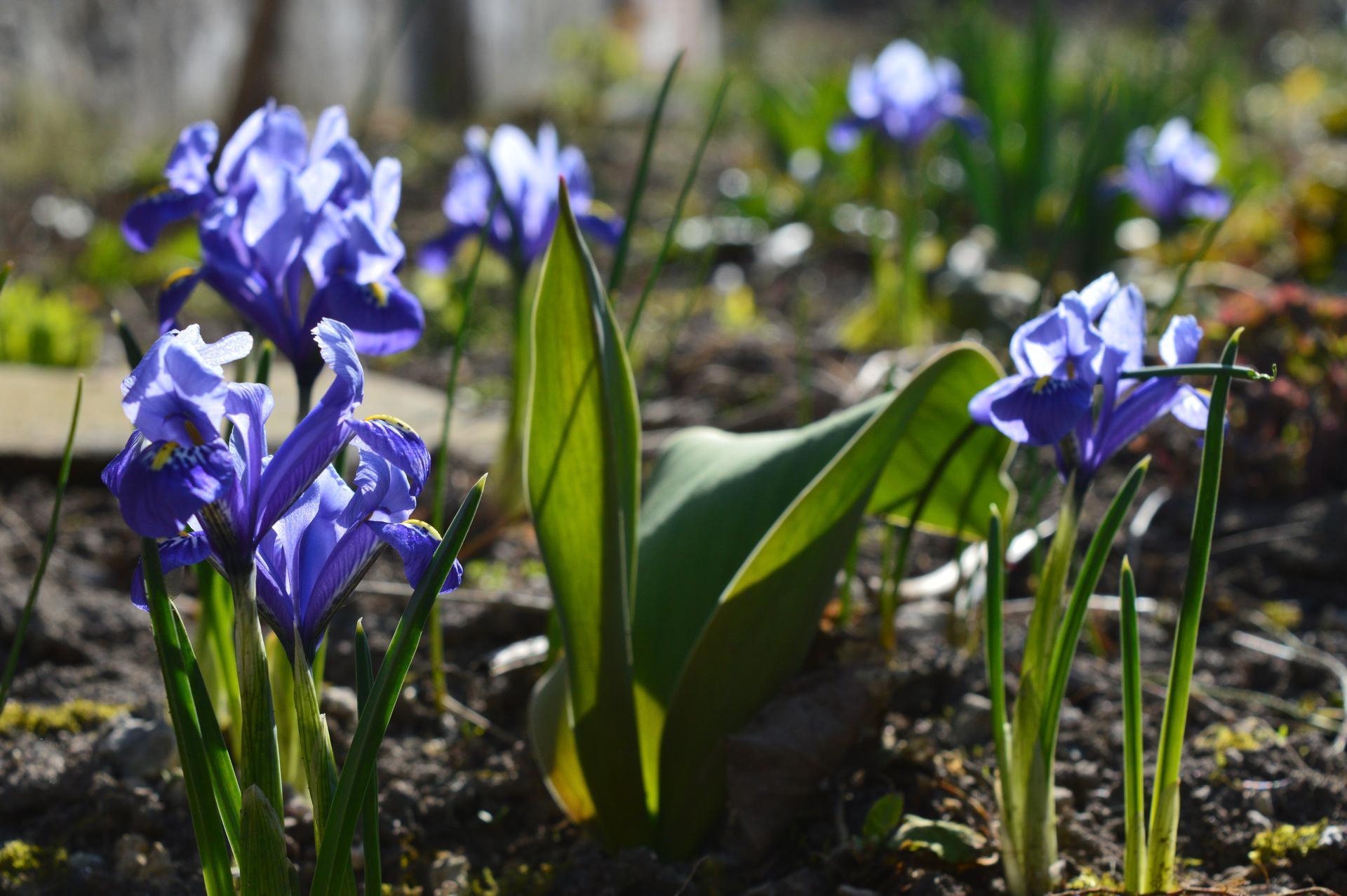 Naša prírodná perma záhradka v roku 2020 - vlani darované v kvetináči, teraz nádherne zdobia predný záhon