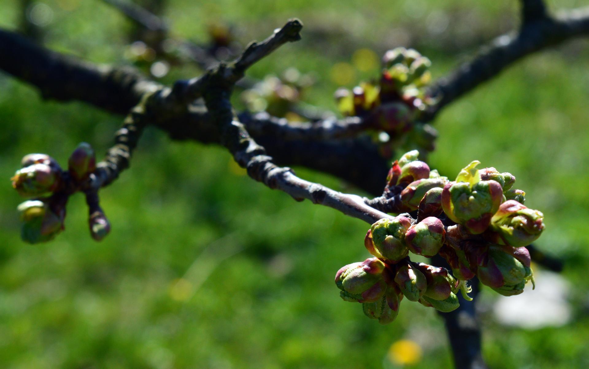 Naša prírodná perma záhradka v roku 2020 - ani čerešnička ešte nekvitne