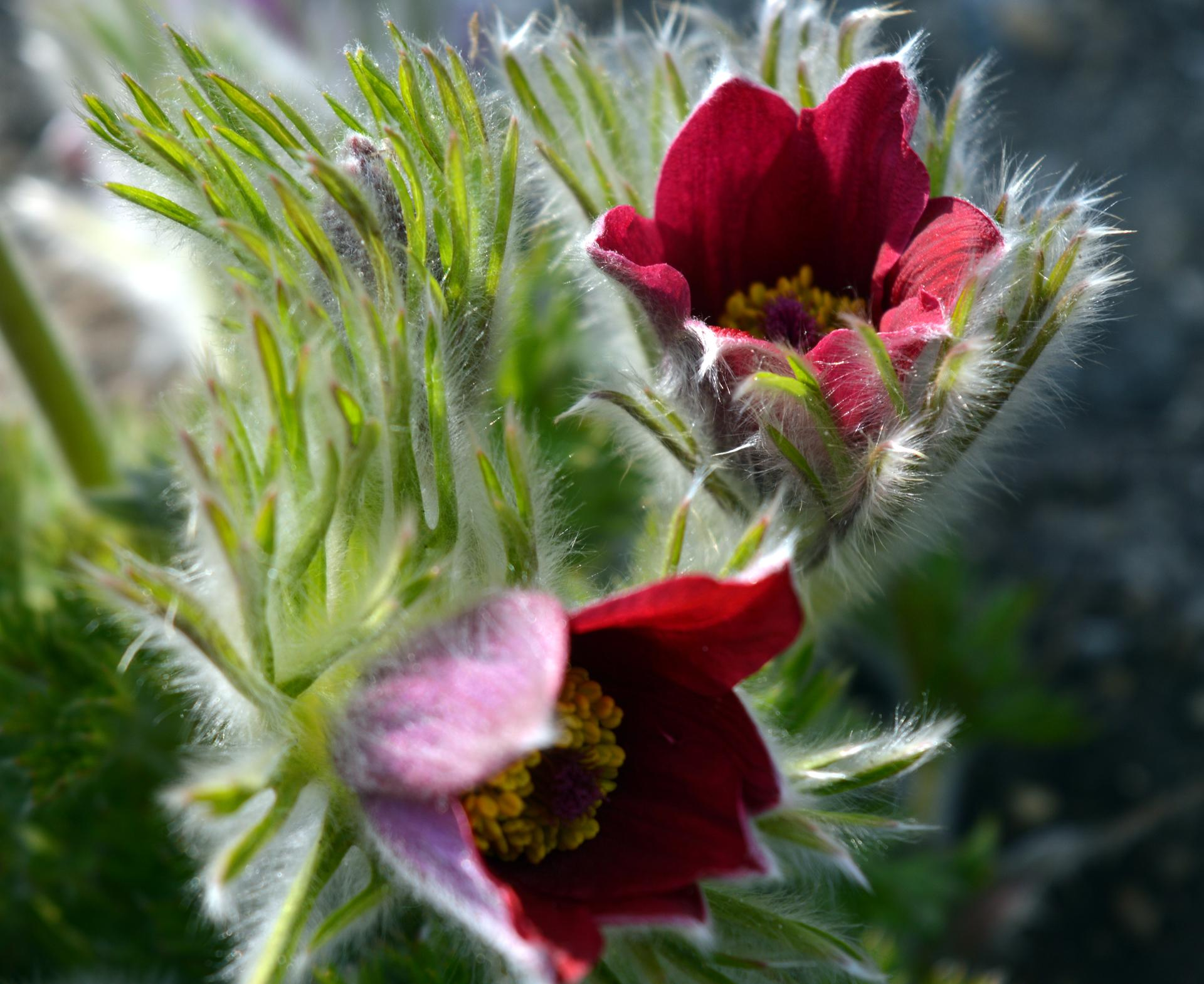Naša prírodná perma záhradka v roku 2020 - a tu hneď z rána kým to nestihli