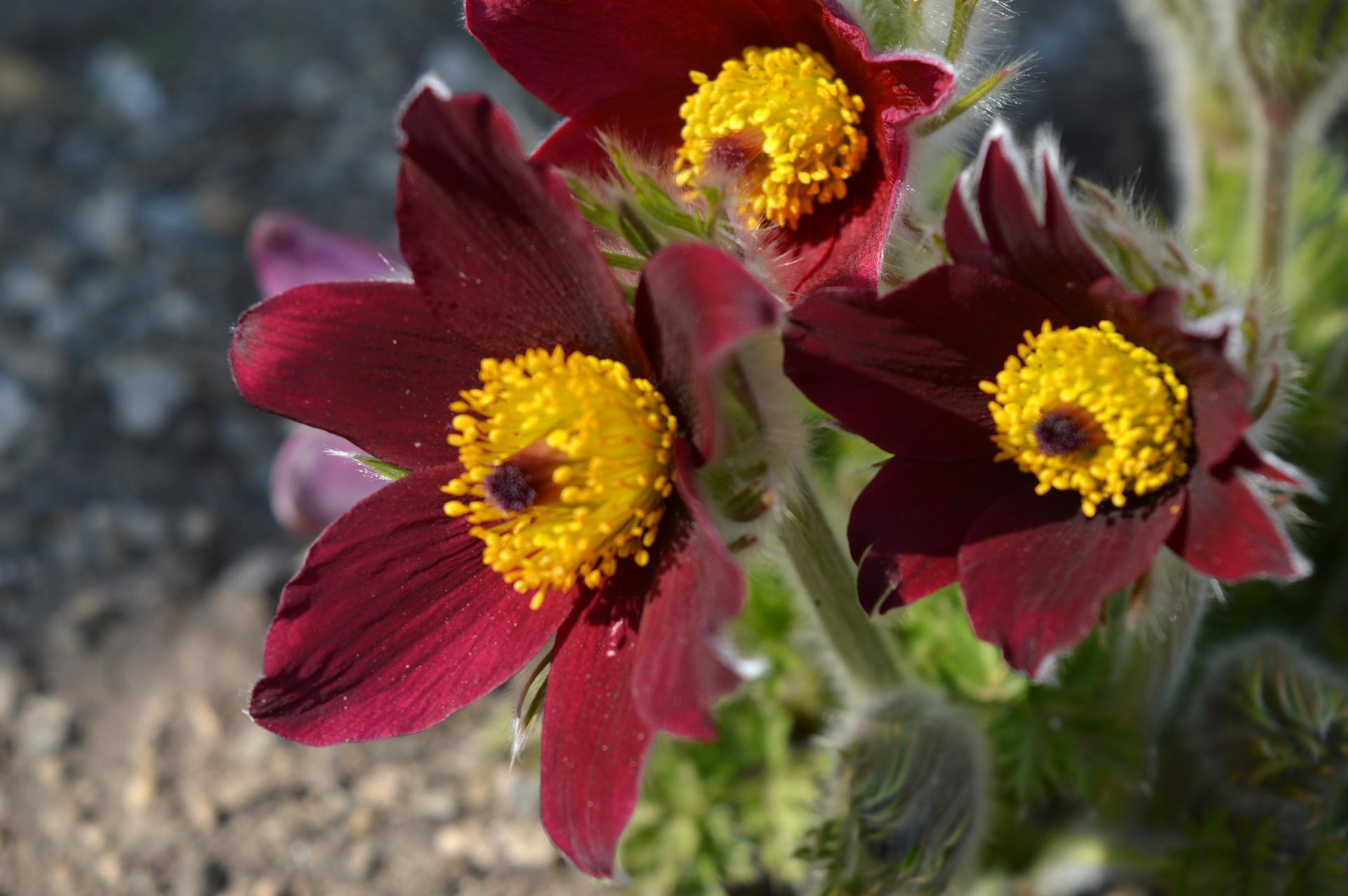 Naša prírodná perma záhradka v roku 2020 - chlpáčiky už krásne nadstavili líčka slnku