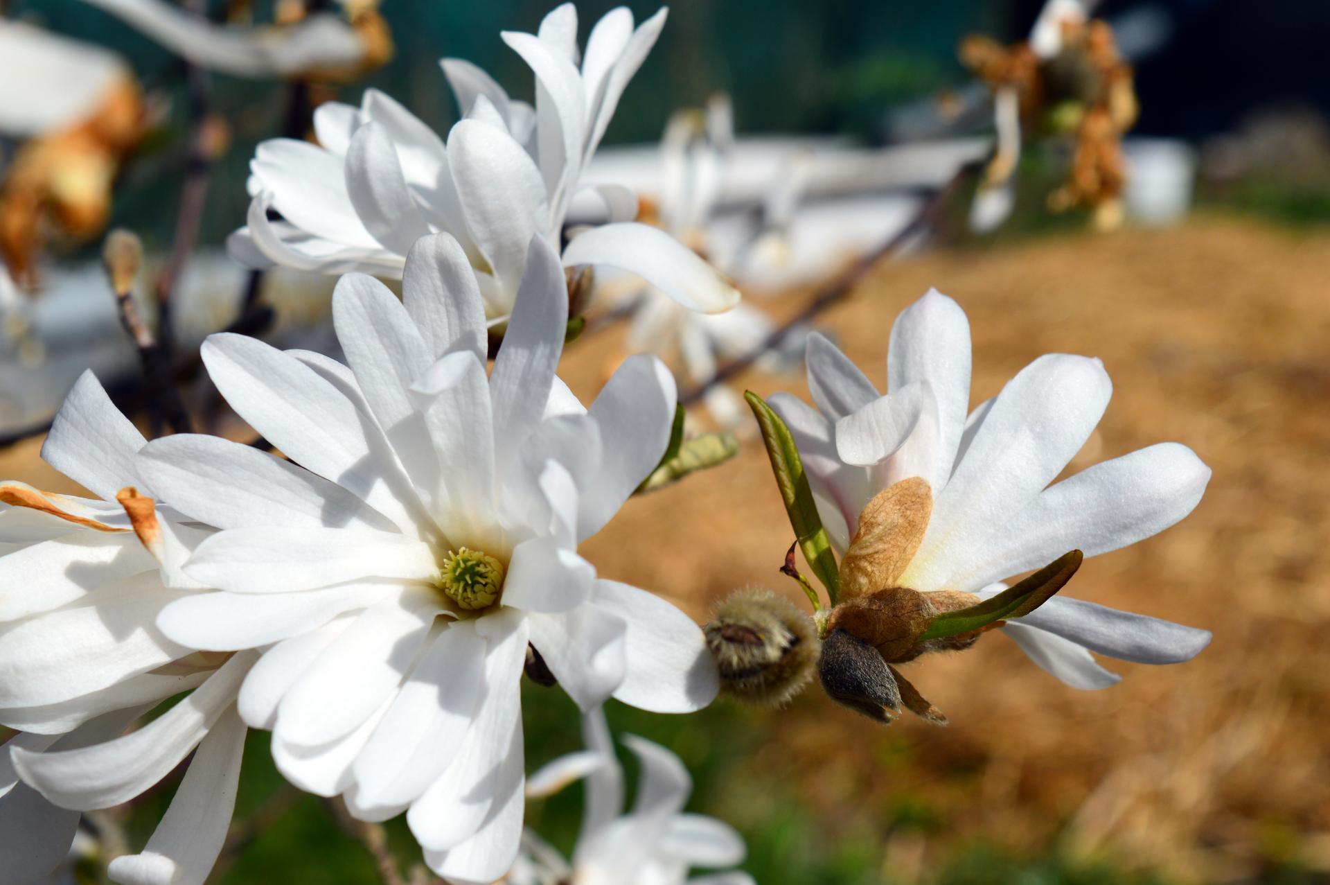Naša prírodná perma záhradka v roku 2020 - stelka si tiež užila svoje, takže veľká časť kvetov proste ožltla, keďže vykvitá oveľa skôr ako ružová magnólia vo dvore
