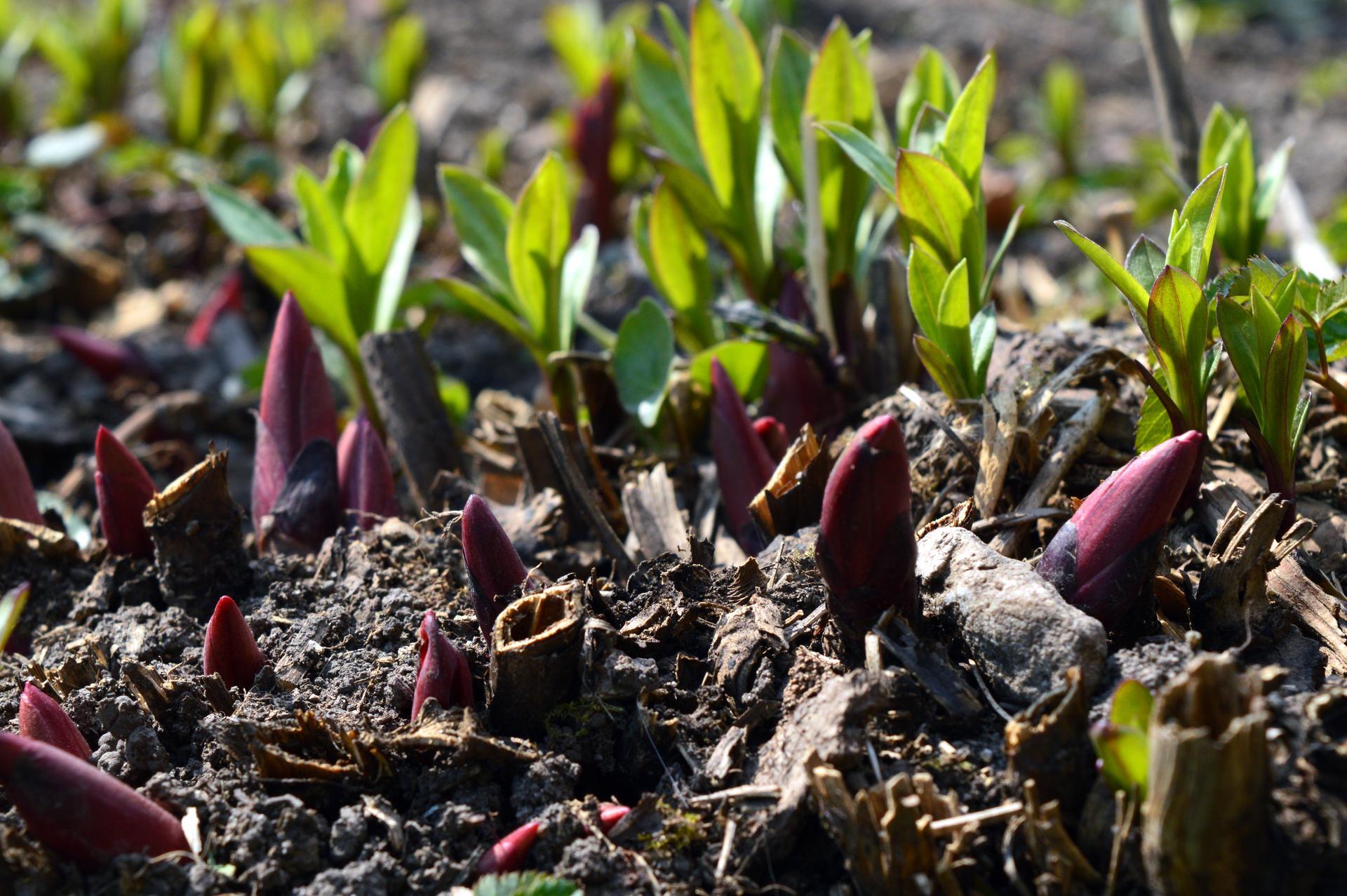 Naša prírodná perma záhradka v roku 2020 - staručká pivonka prerastená mydlicou