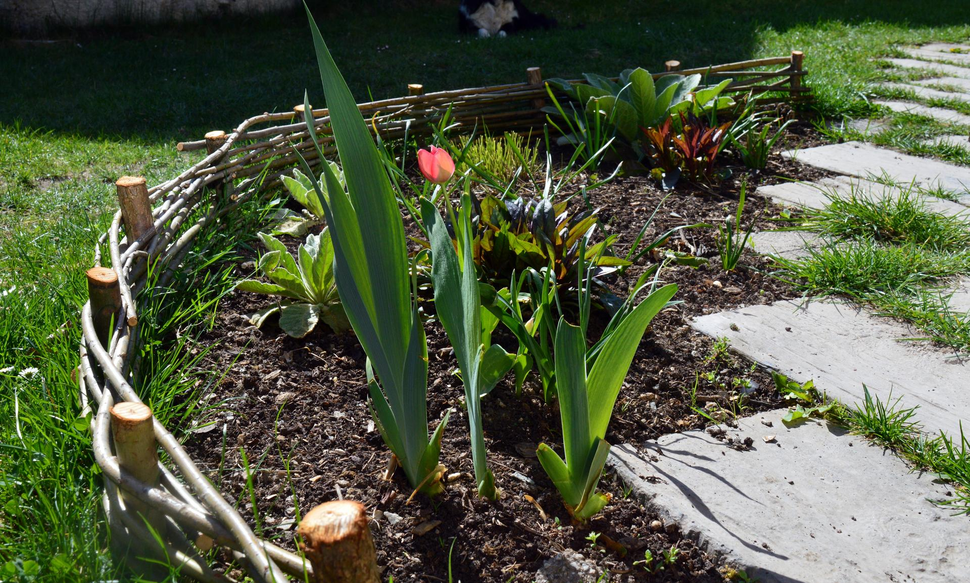 Naša prírodná perma záhradka v roku 2020 - na prechádzke sme našli ostrihané prúty z vŕby, tak sme trošku vylepšili záhonček, najmä kvôli psici, nech neskáče po kvetoch ako to ona rada