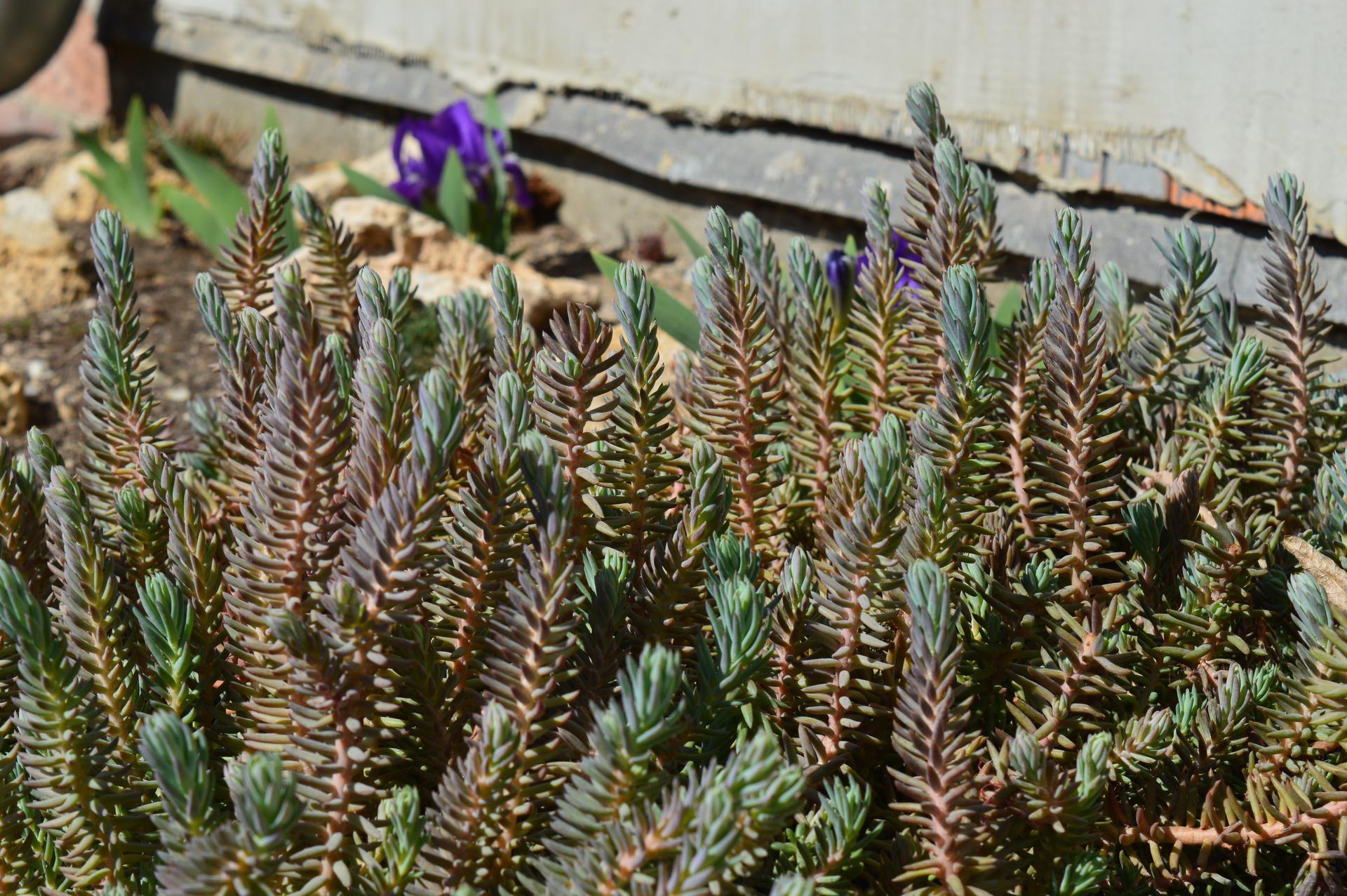 Naša prírodná perma záhradka v roku 2020 - neuveriteľne rozrastený rozchodník