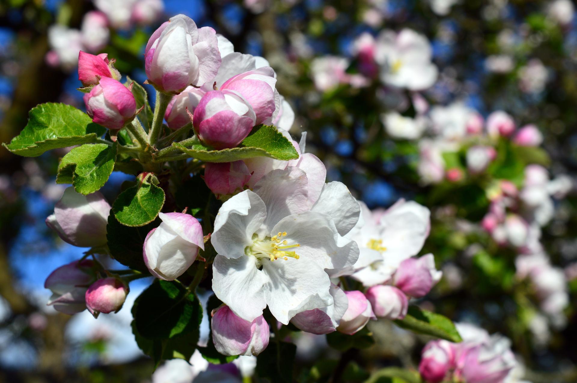 Naša prírodná perma záhradka v roku 2020 - v polovici mája nás po príchode domov potešila táto kvitnúca nádhera