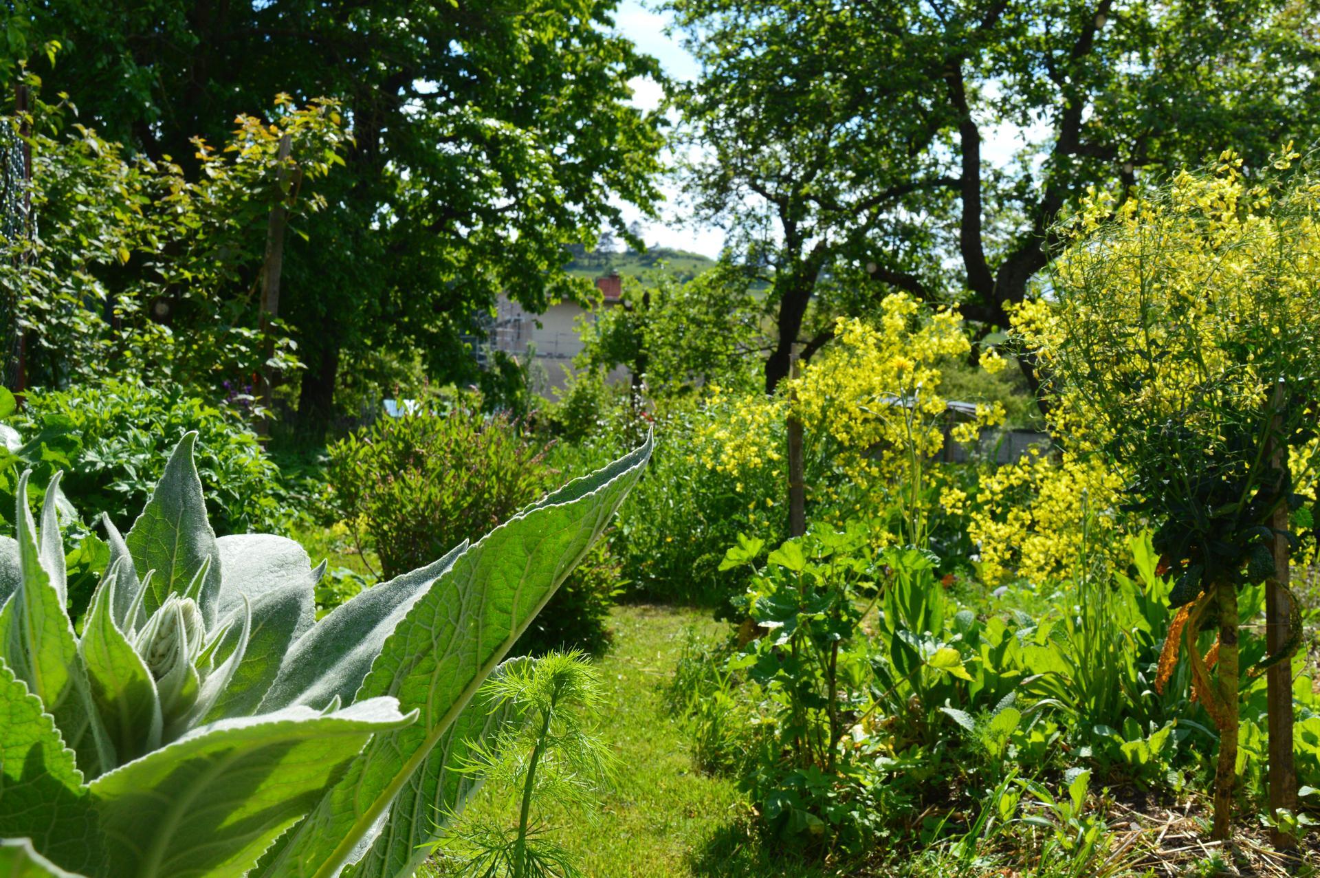 Naša prírodná perma záhradka v roku 2020 - vykvitli kapustoviny
