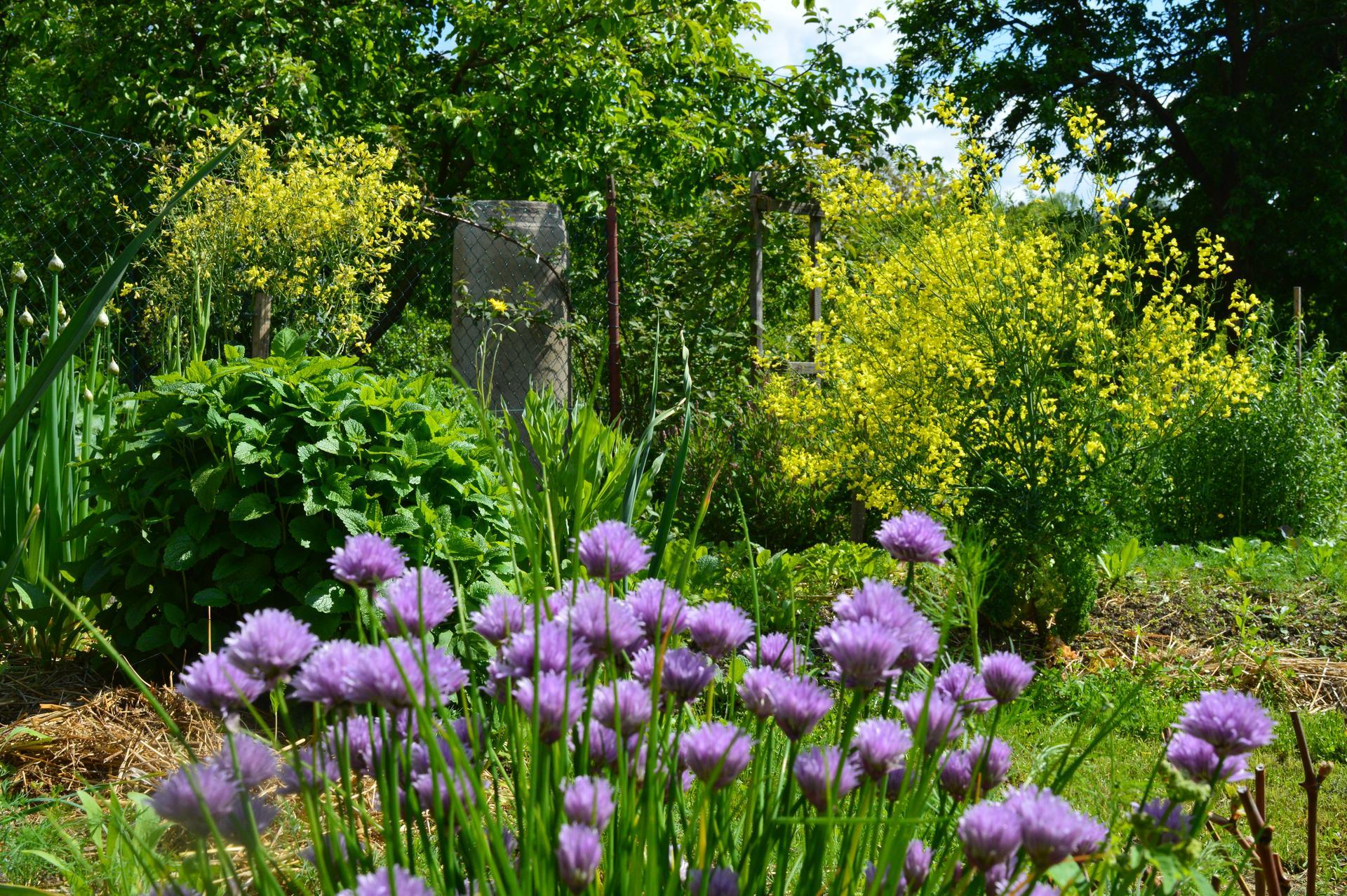 Naša prírodná perma záhradka v roku 2020 - začiatkom júna už začína záhrada bujnieť