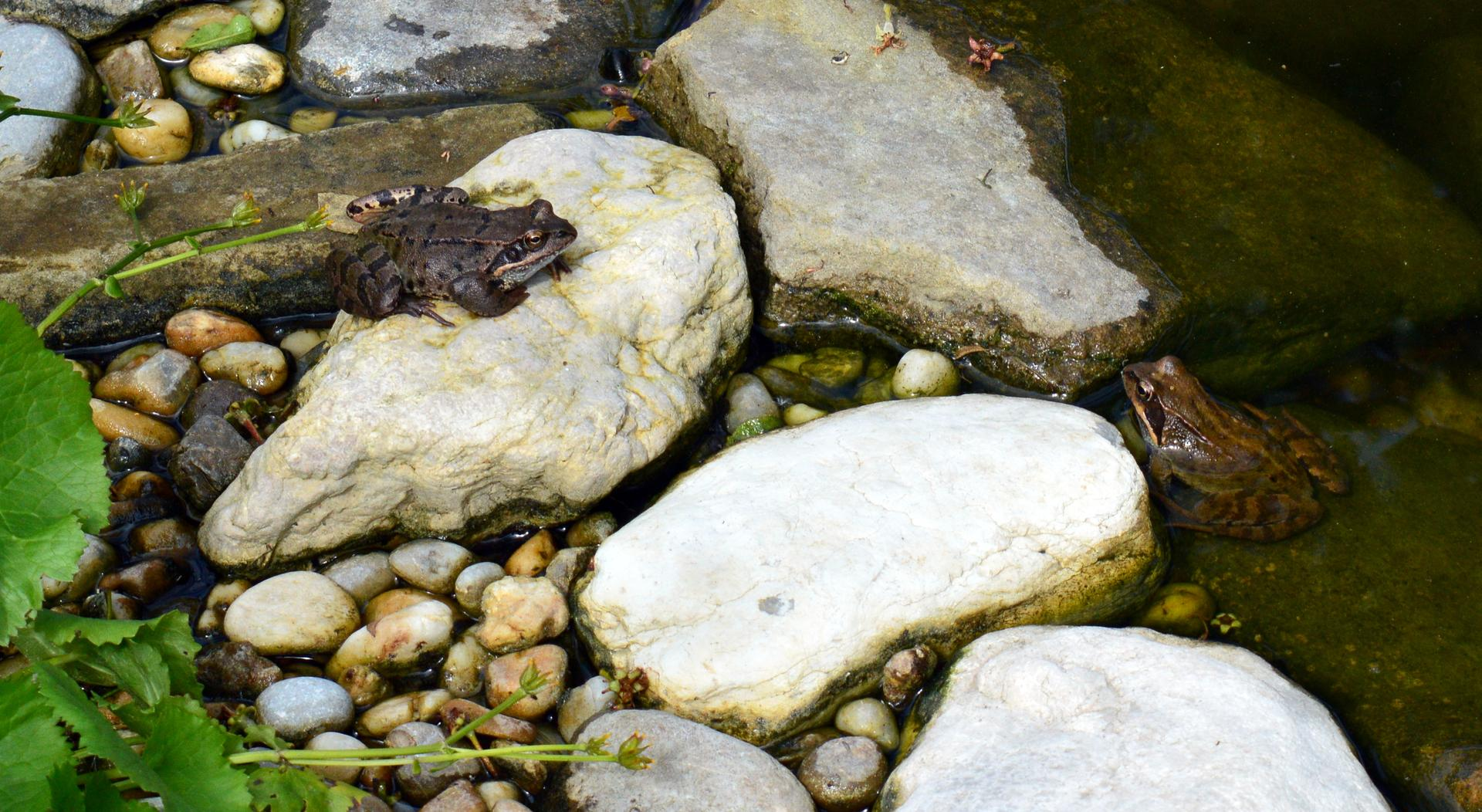 Naša prírodná perma záhradka v roku 2020 - Žabčo a Žabinka - začiatkom júla sa niekam presunuli a ich deti tiež. Jazierko je napriek tomu plné života. (foto polovica júna)