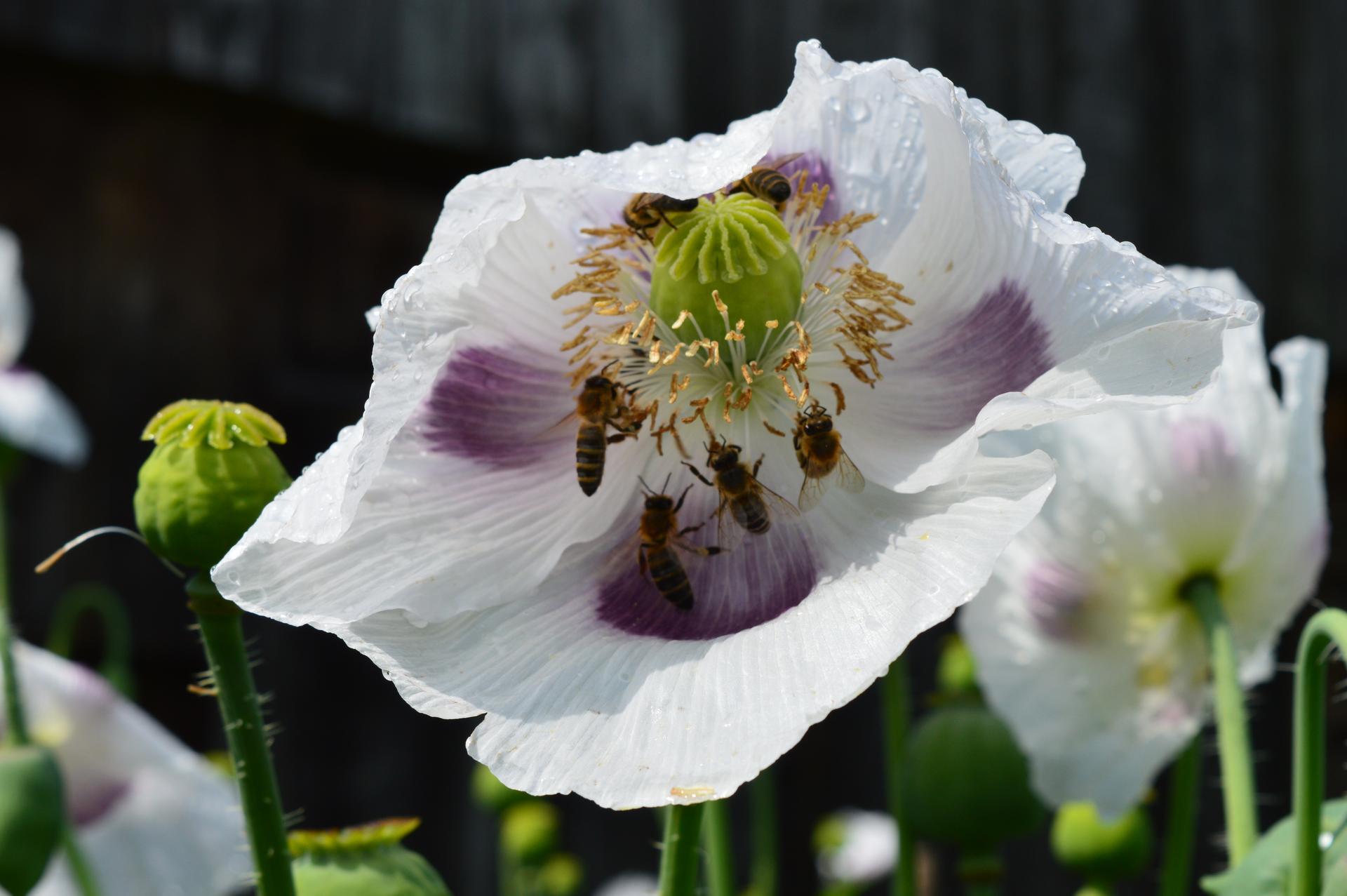 Naša prírodná perma záhradka v roku 2020 - každý jeden kvietok bol ako bufet pre hmyz