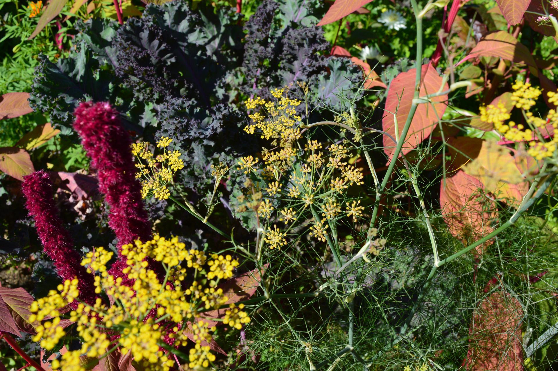 Naša prírodná perma záhradka v roku 2020 - 9/2020 - jesenný záhonový farebný mix: bronzový fenikel, kučeravý kel Scarlet, aksamietnice a cyklaménové láskavce. Dodávali krásne farby.
