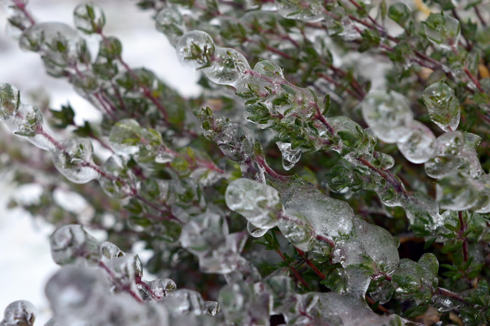 Naša prírodná perma záhradka v roku 2021 - 2/2021 - tymián