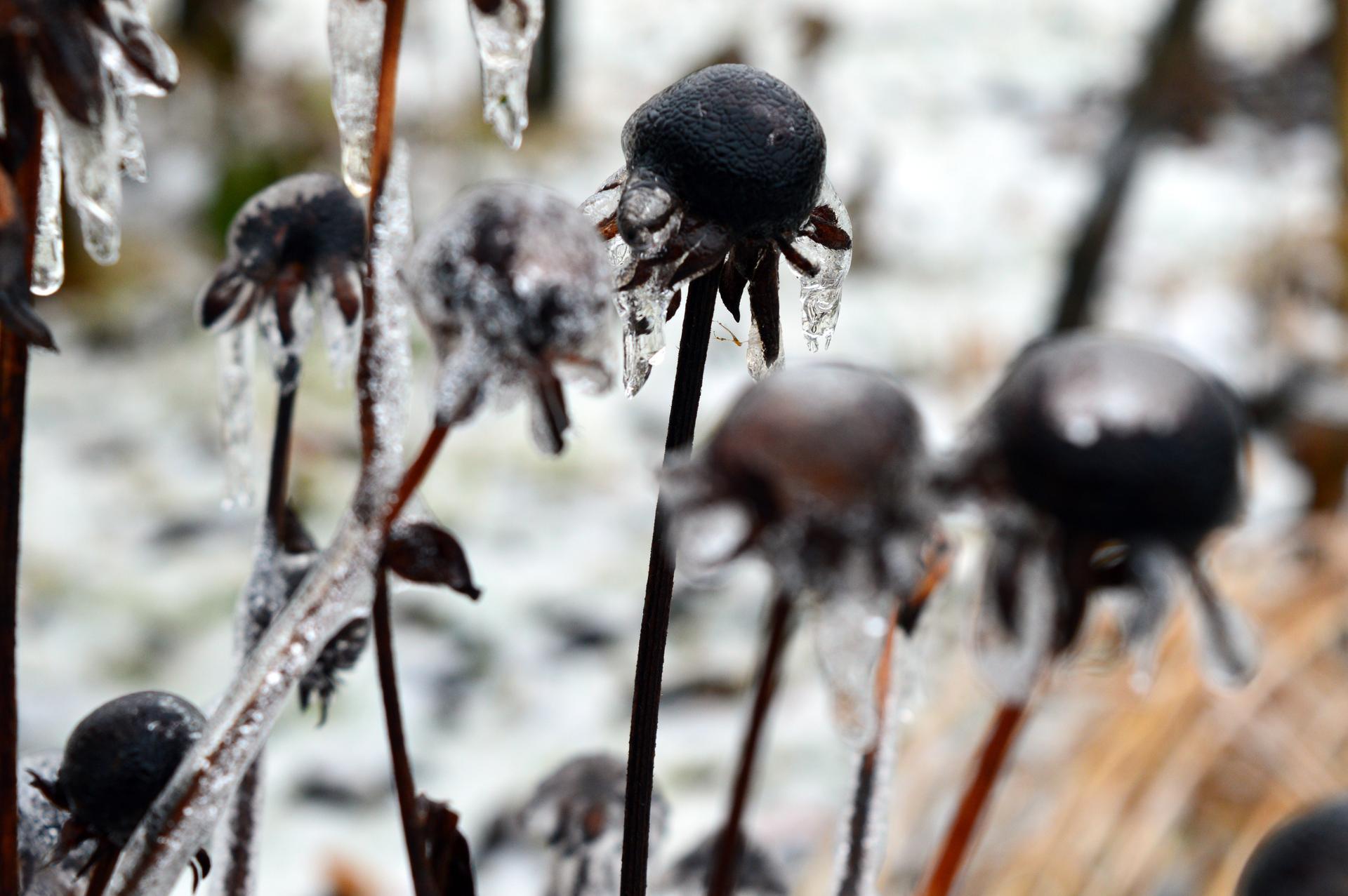 Naša prírodná perma záhradka v roku 2021 - 2/2021 - iné rudbeckie