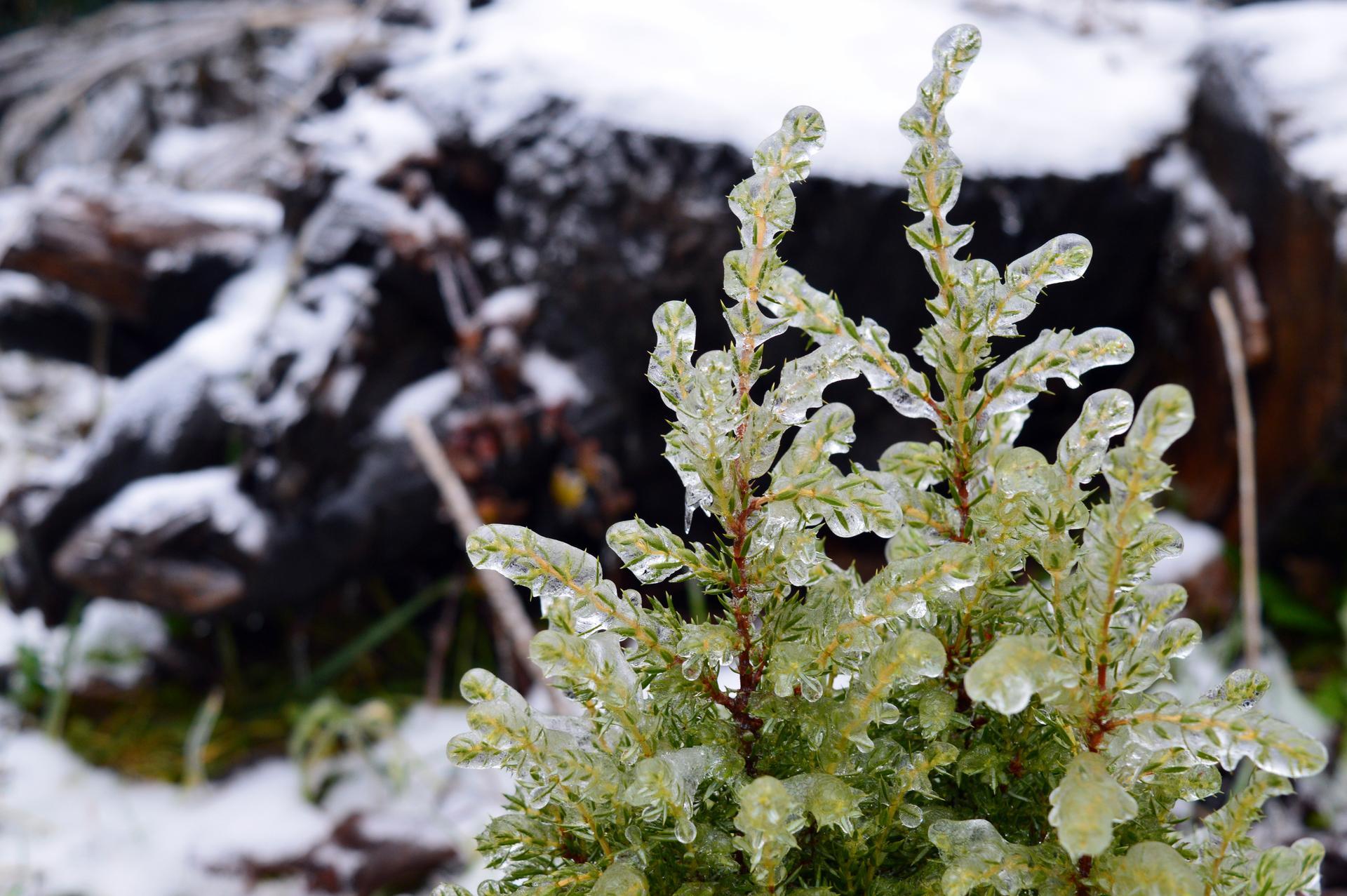 Naša prírodná perma záhradka v roku 2021 - 2/2021 - zlatá borievka