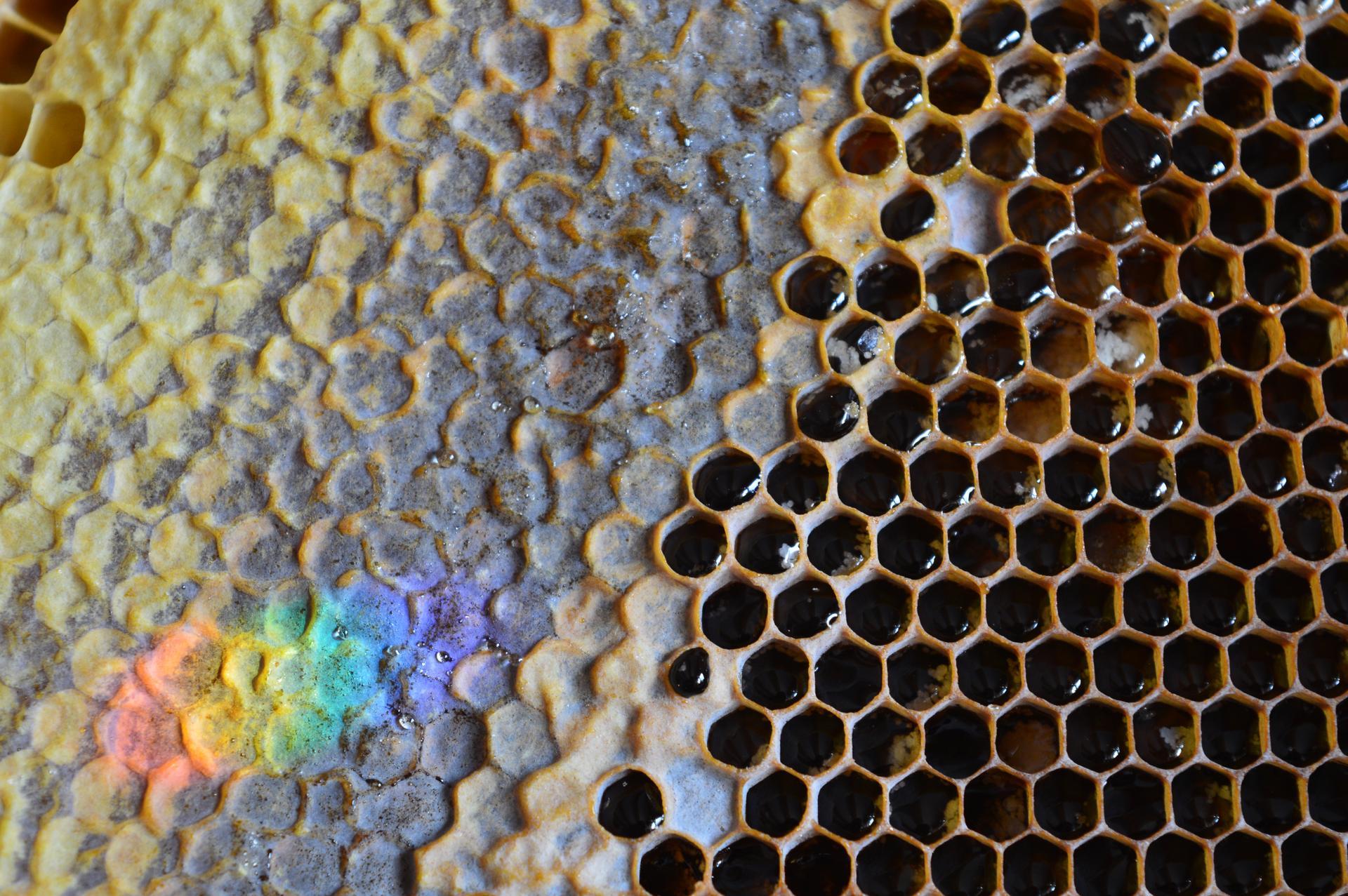 Naša prírodná perma záhradka v roku 2021 - 2/2021 - no a toto je poklad, ktorý po sebe včieločky zanechali - úľ plný medu