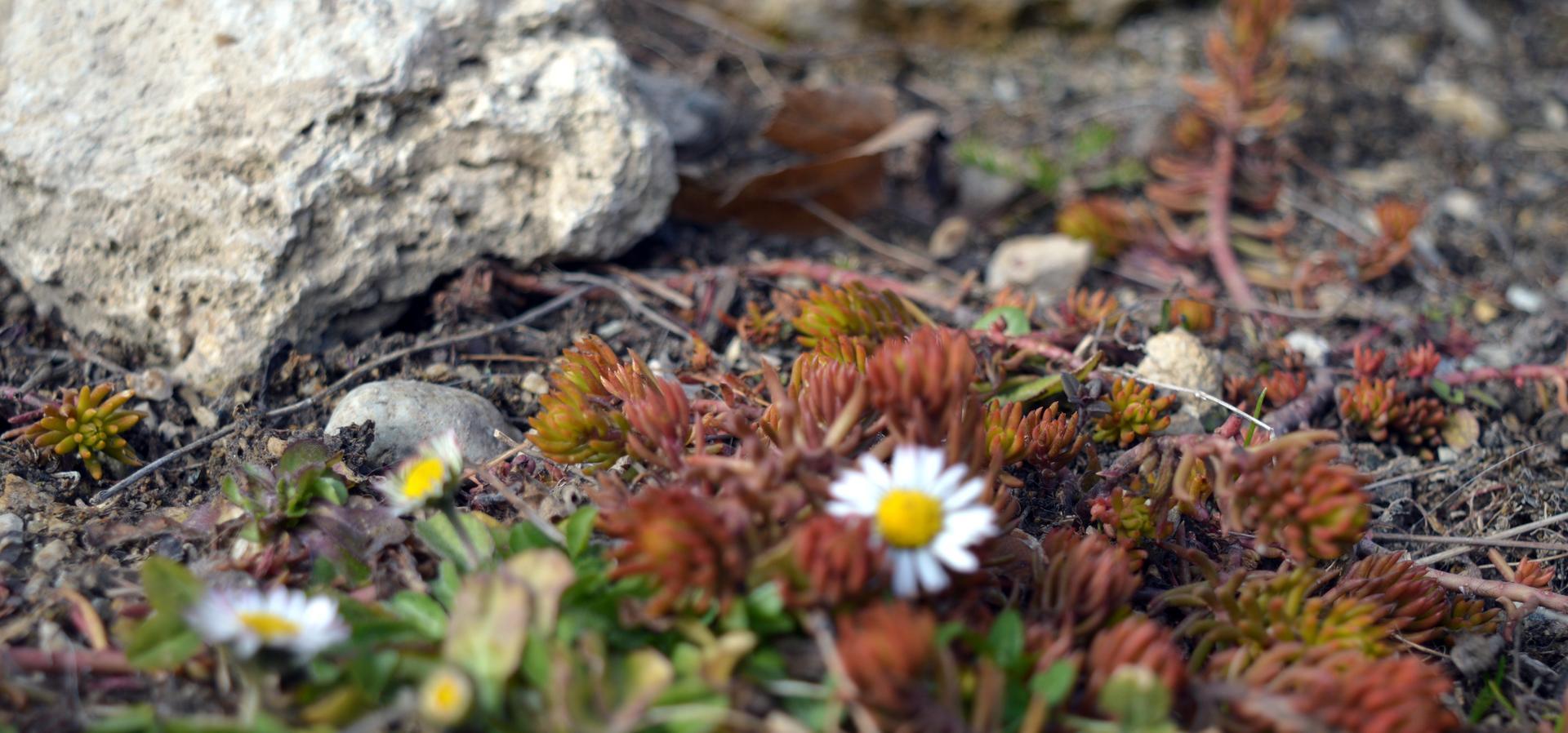 Naša prírodná perma záhradka v roku 2021 - 3/2021 - pozdĺž múra je ale predsa teplejšie, rozkvitajú sedmokrásky