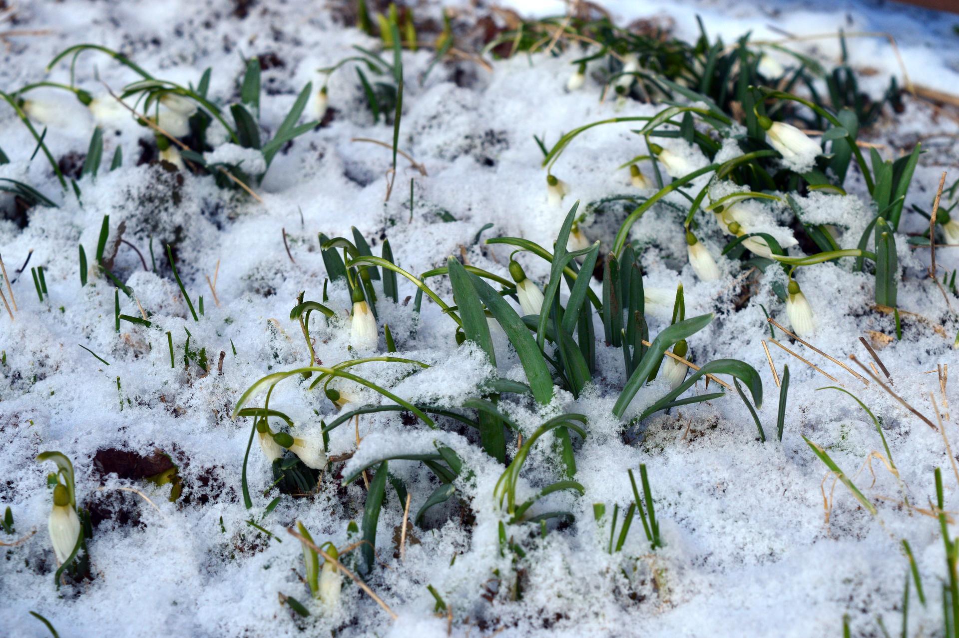 Naša prírodná perma záhradka v roku 2021 - 3/2021 - aj keď sú snežienky otužilé, ľadové vetry im dobre nerobia, ešteže trošku periny napadlo