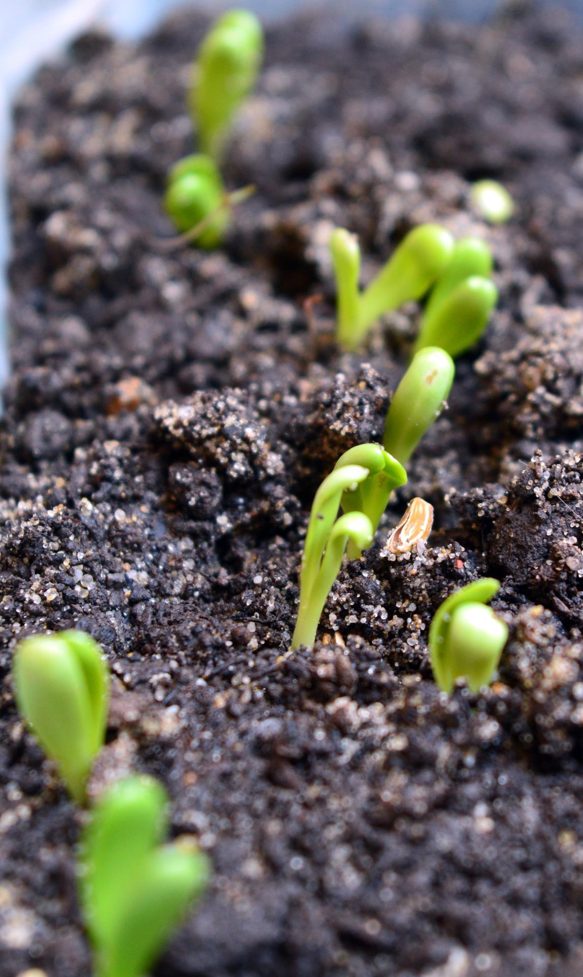 Naša prírodná perma záhradka v roku 2021 - 3/2021 - siala som približne 25 rôznych druhov