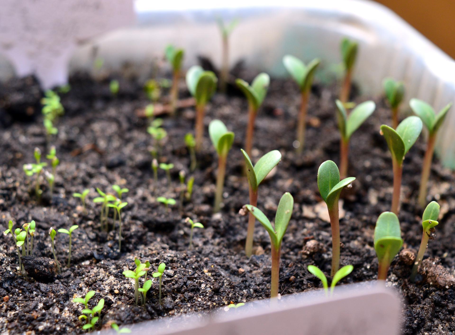 Naša prírodná perma záhradka v roku 2021 - 3/2021 - už prvé sadeničky  vykúkajú