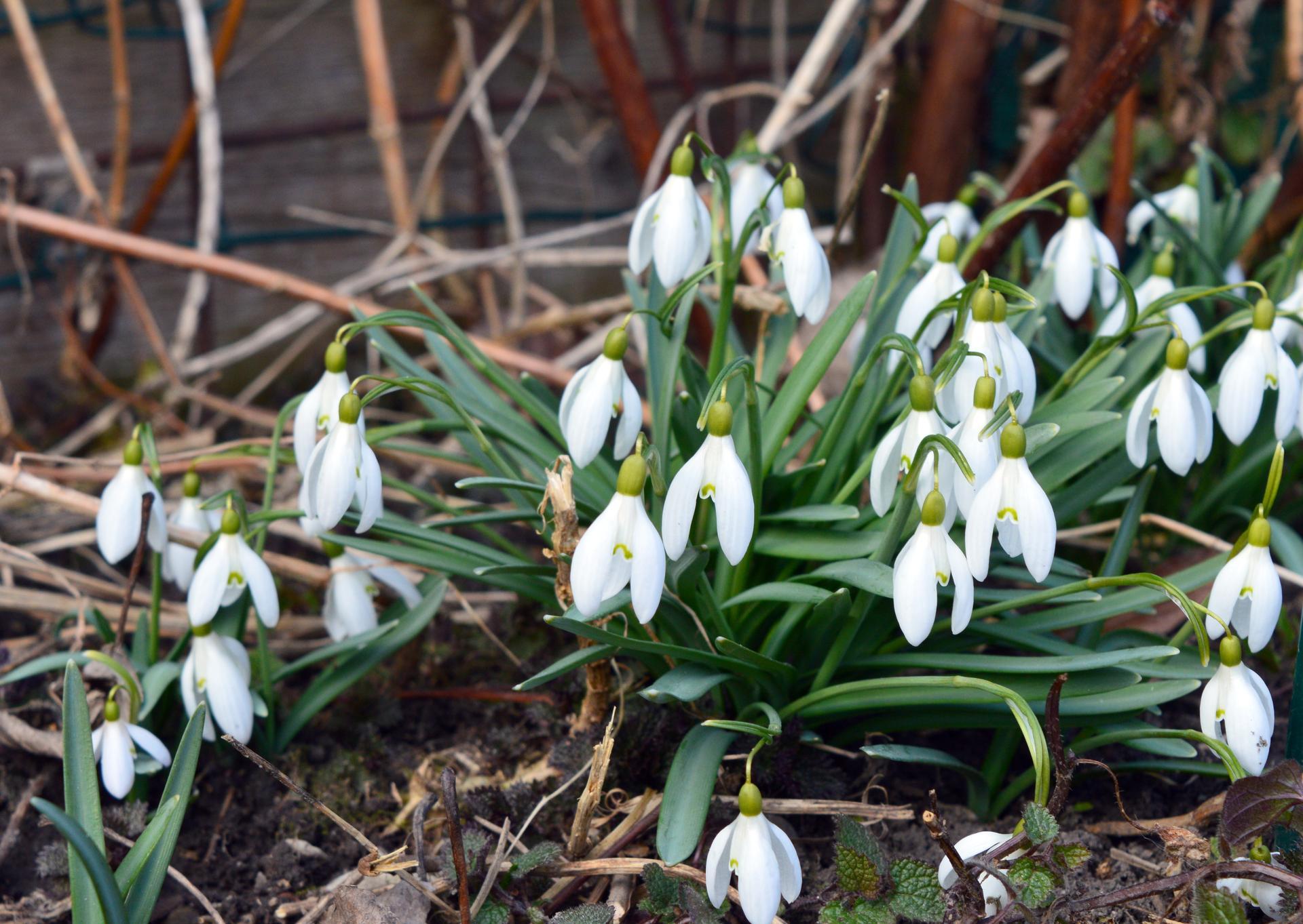 Naša prírodná perma záhradka v roku 2021 - 3/2021 - konečne sa rozbehli aj snežienky