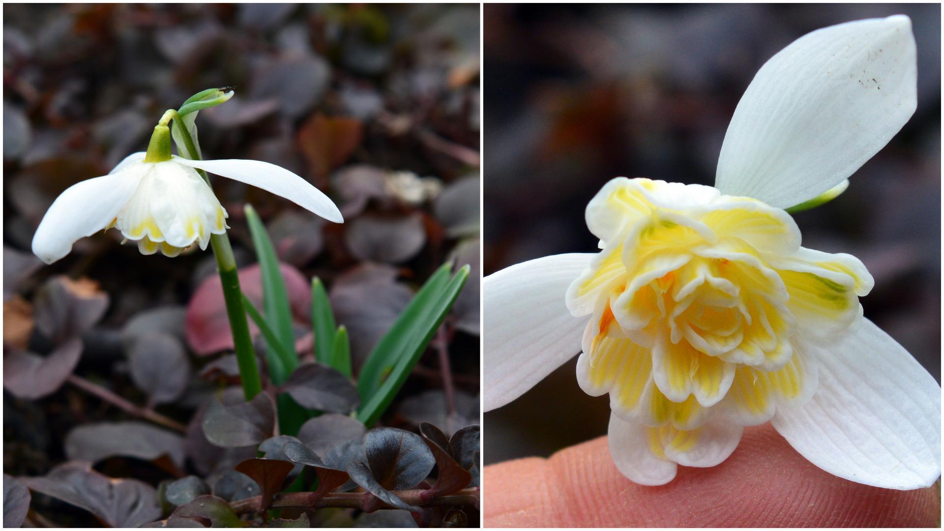 Naša prírodná perma záhradka v roku 2021 - 3/2021 - jedna z mojich botanických snežienok. Veľmi namyslená. Ak vôbec ráči vykvitnúť, tak má jediný kvietok, vôbec sa nemnoží.