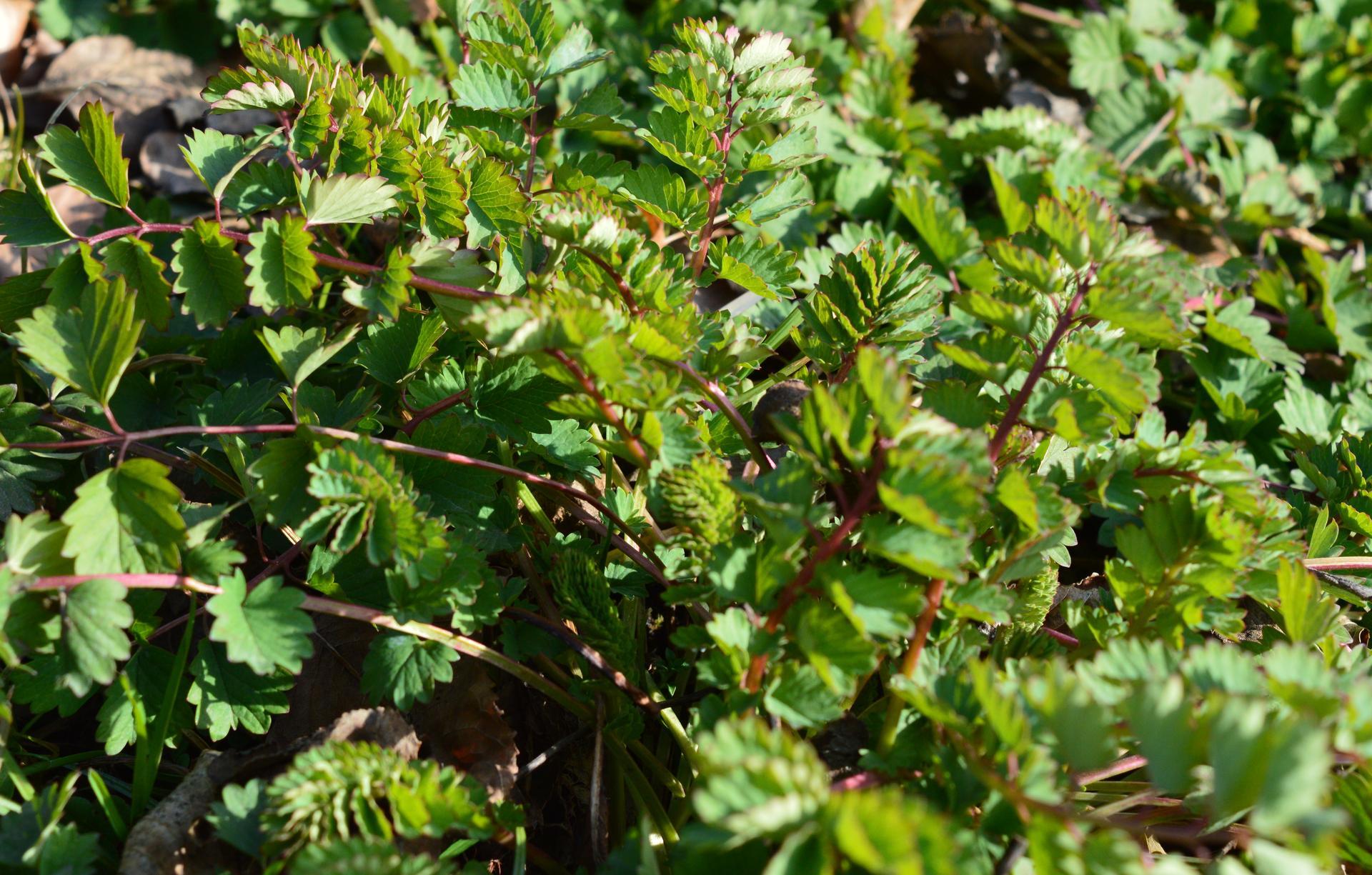 Naša prírodná perma záhradka v roku 2021 - 3/2021 - krvavec (šalál) menší fičal nazeleno celú zimu. Ďalšia zo zásobovacích byliniek počas zimy.