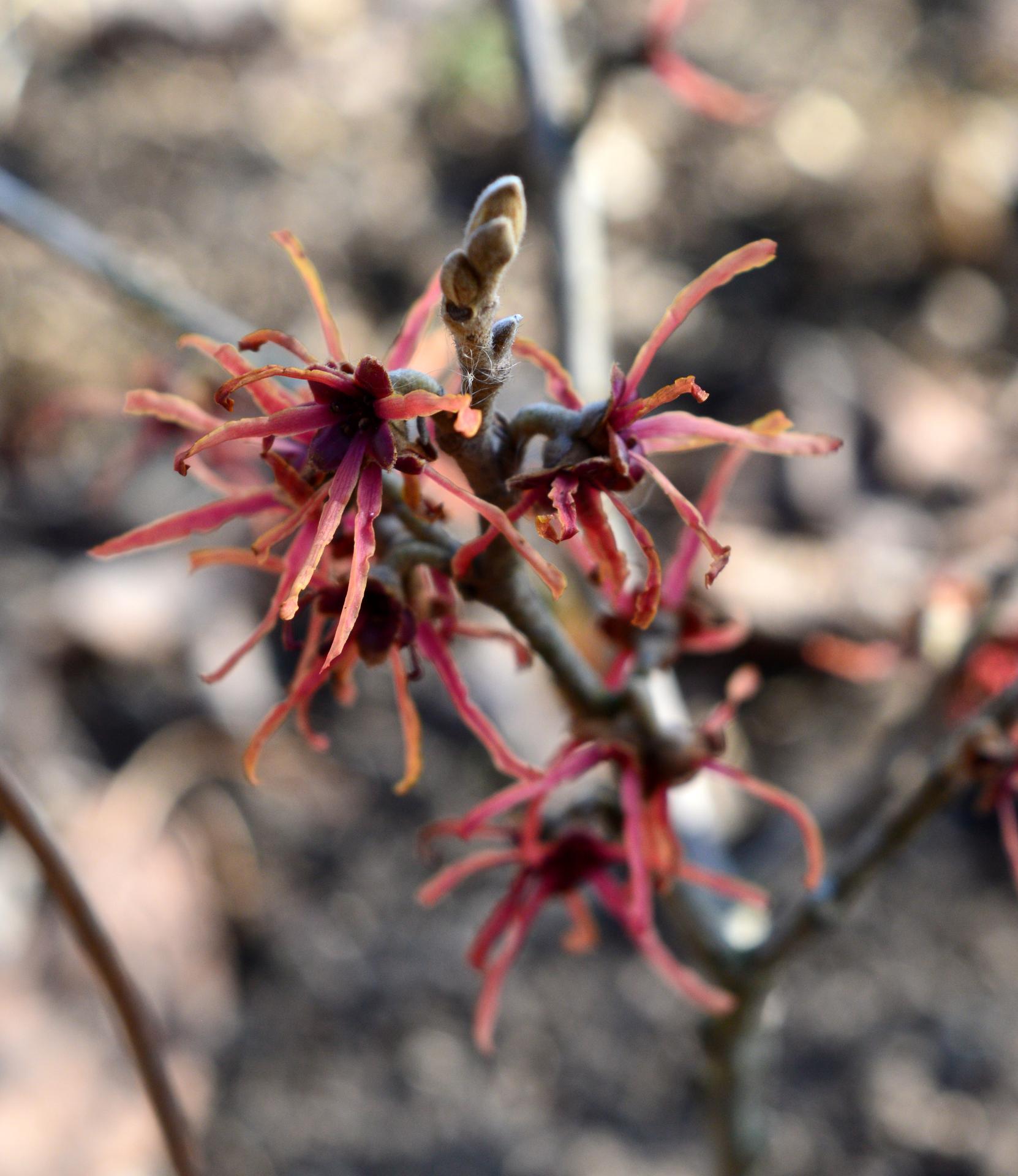 Naša prírodná perma záhradka v roku 2021 - 3/2021 - hamammel, túto jar kvitol iba jeden z dvoch
