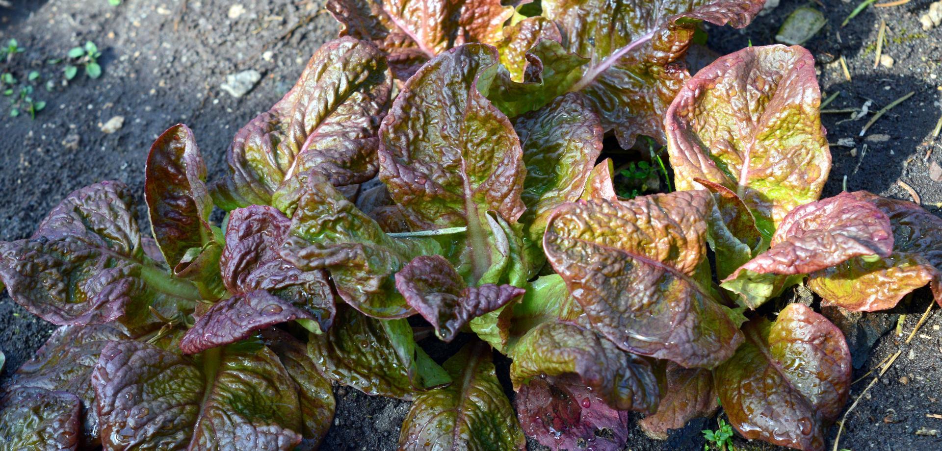 Naša prírodná perma záhradka v roku 2021 - 3/2021 - na jeseseň samovysiate šaláty v skleníku fičia od skorej jari