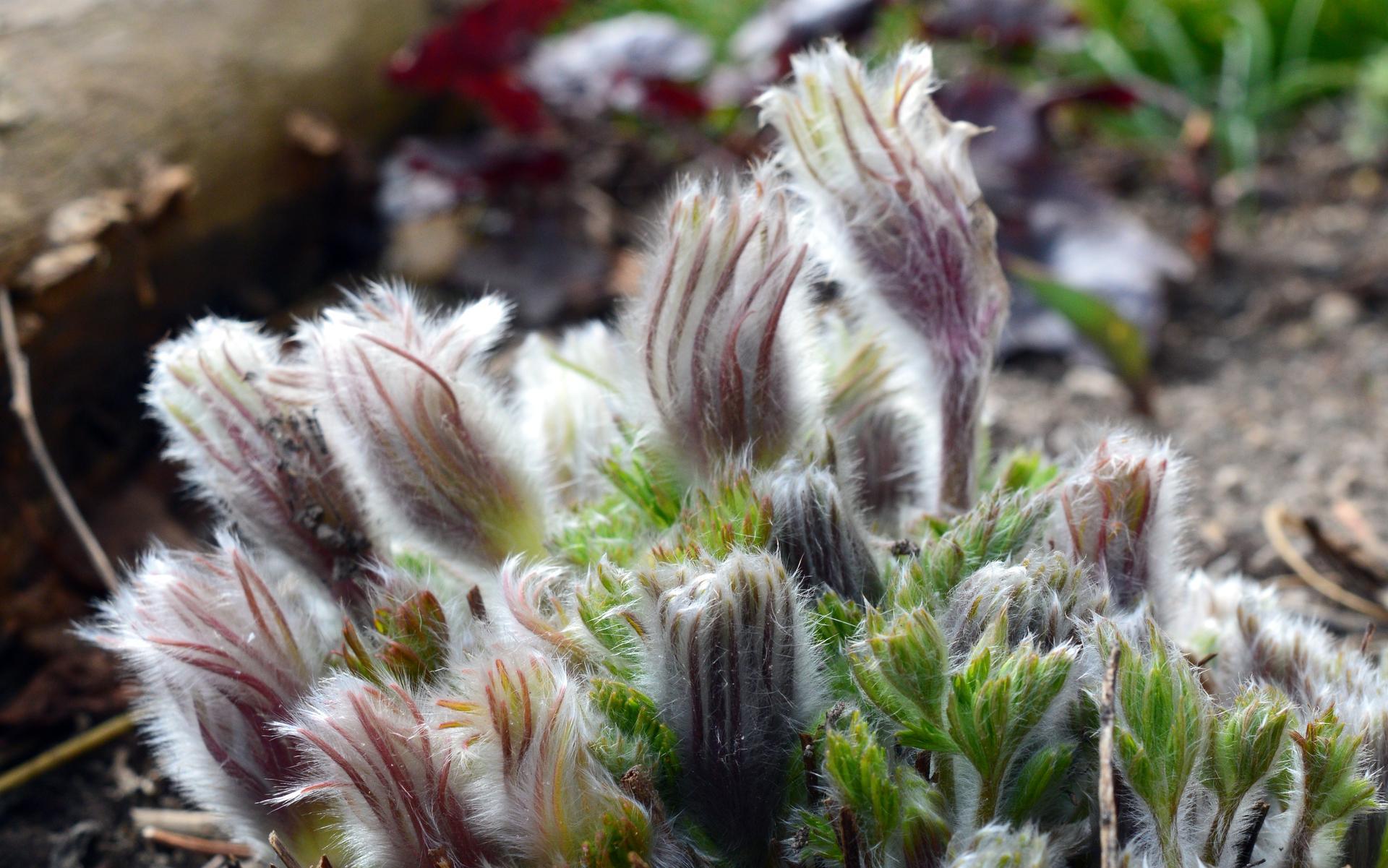 Naša prírodná perma záhradka v roku 2021 - 3/2021 - chlpatá krása ponikleca