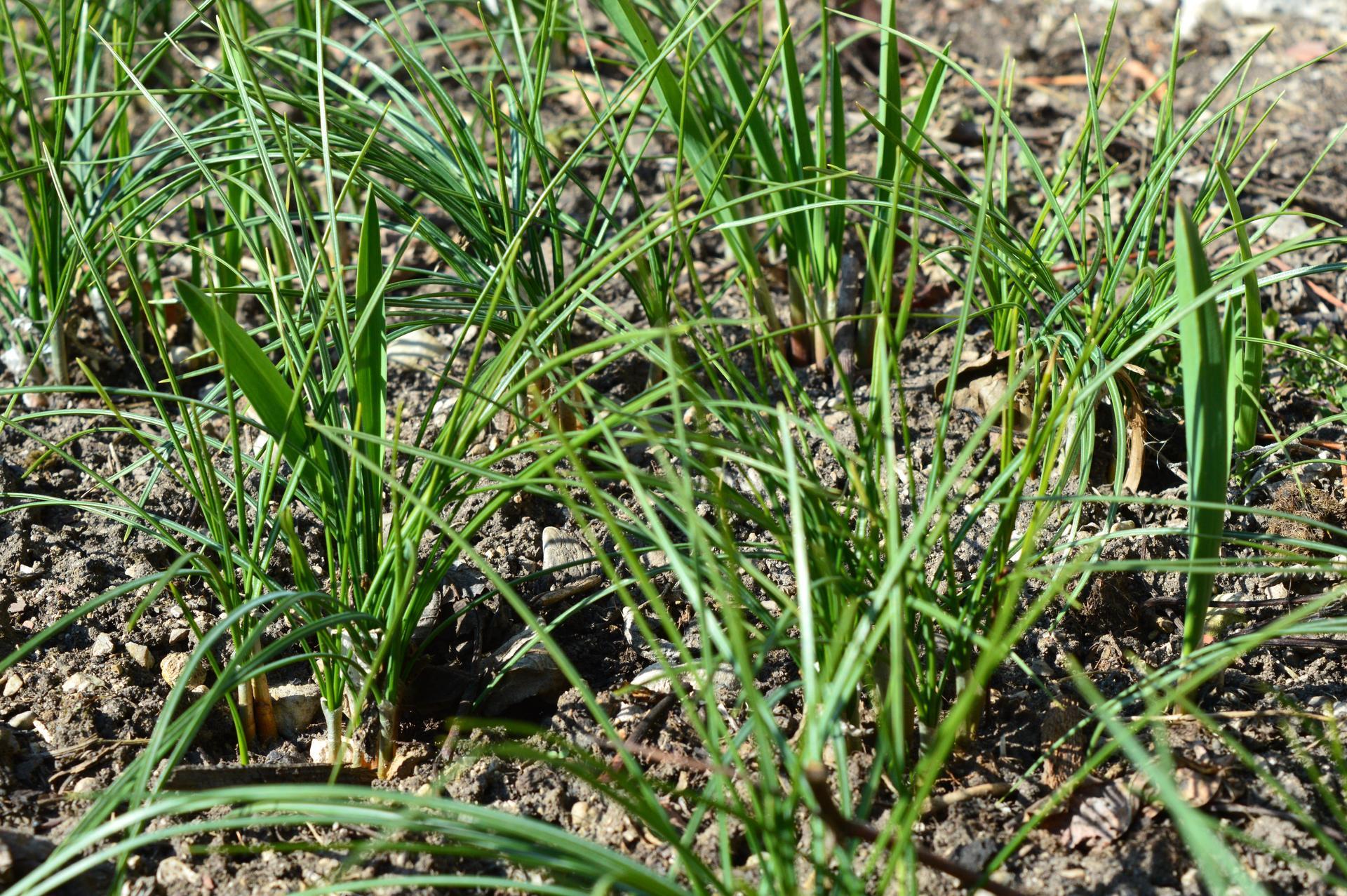 Naša prírodná perma záhradka v roku 2021 - 3/2021 - uhádnete? Okrem zabudnutého vlaňajšieho cesnaku v pozadí a pomedzi je to strapaté pravý šafran