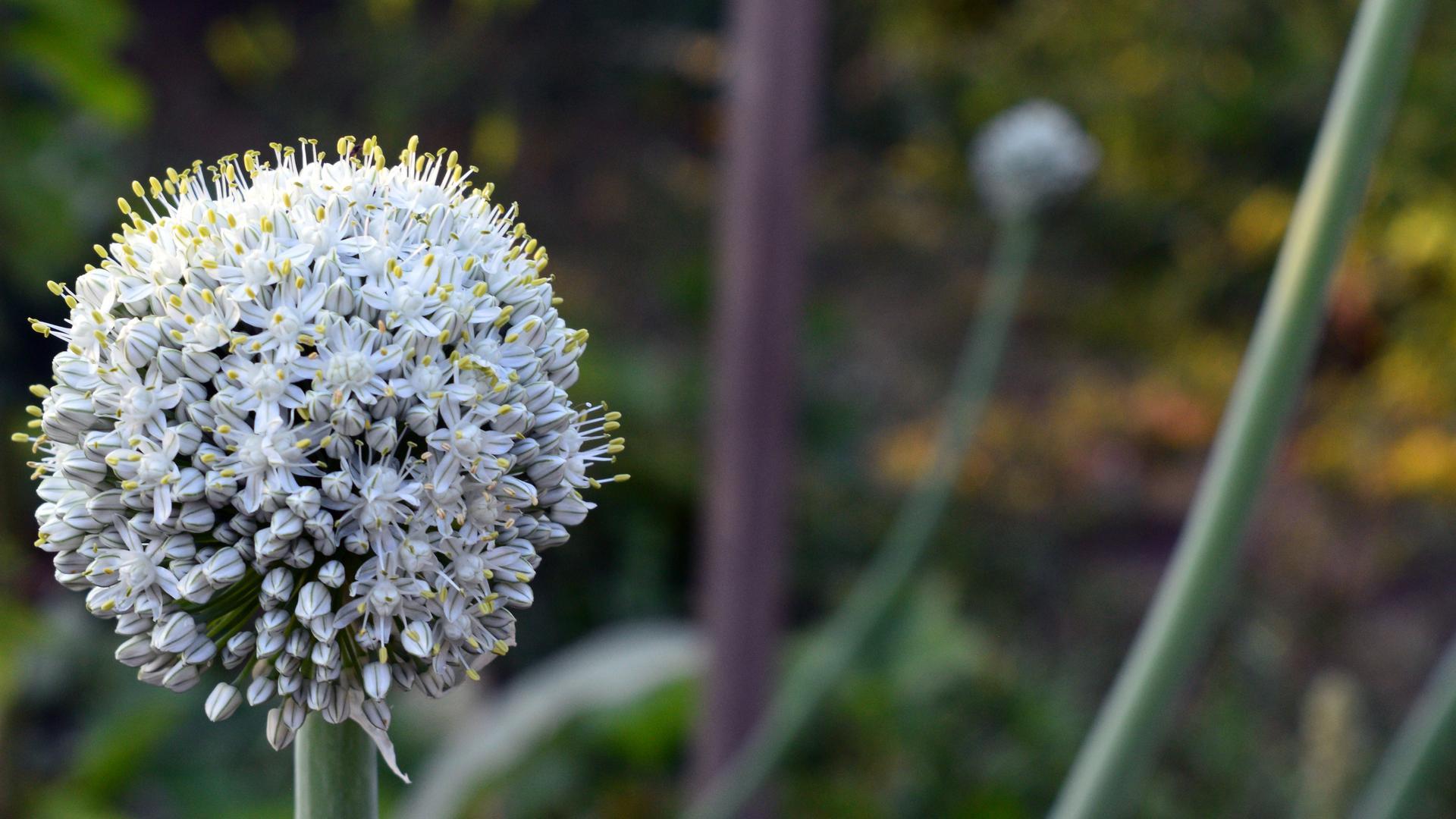 Naša prírodná perma záhradka v roku 2021 - 7/2021 - cibulička kvitne aj semienkuje