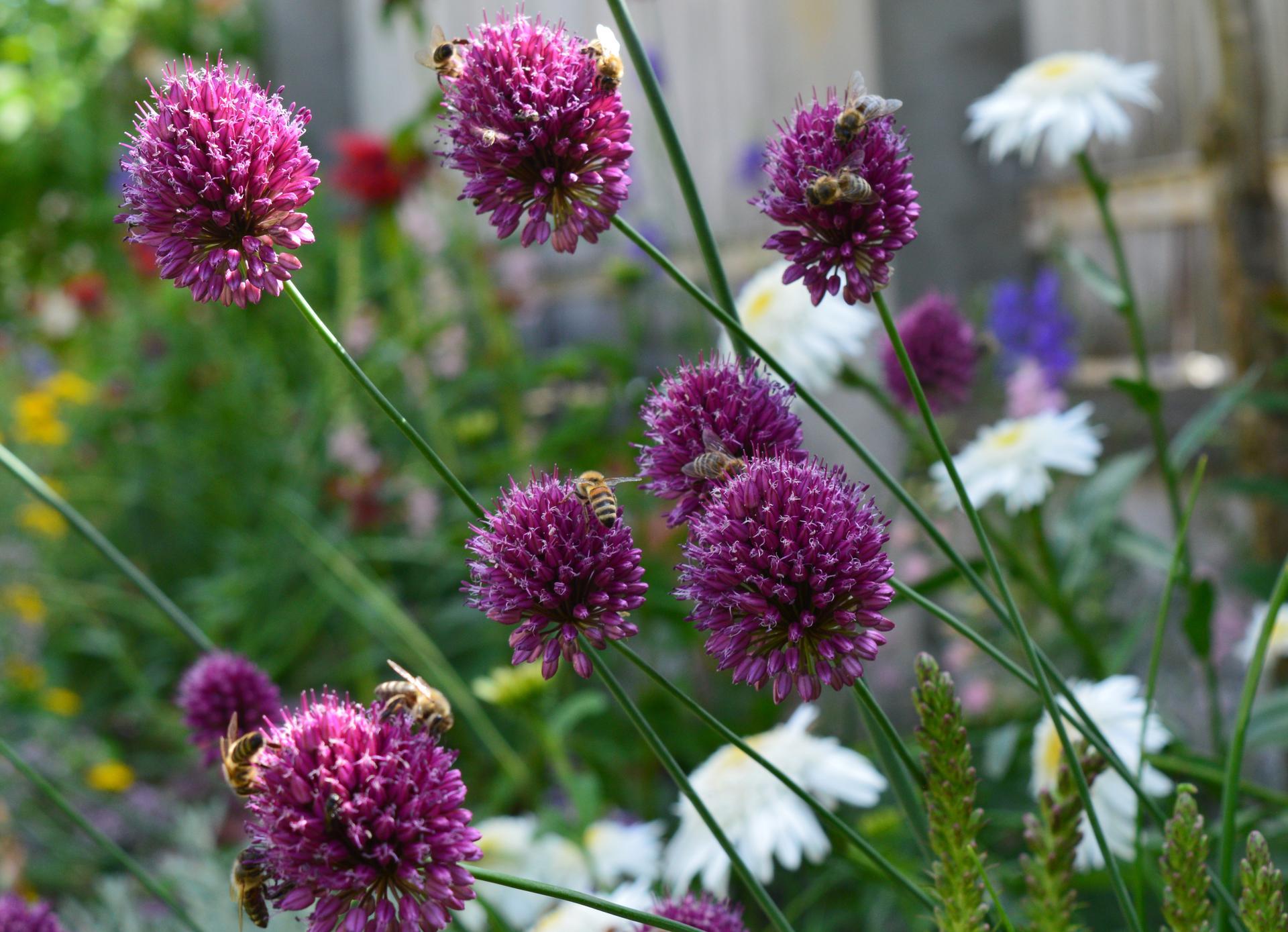Naša prírodná perma záhradka v roku 2021 - 7/2021 - cesnaky sú milované včielkami
