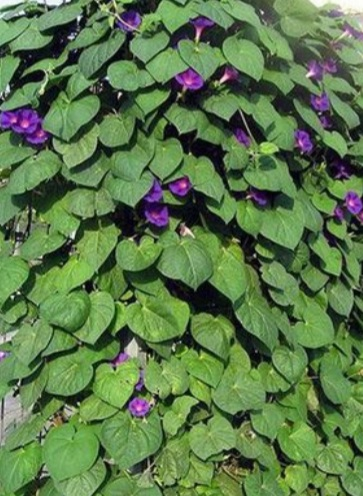 semienka povojníka - Obrázok č. 1