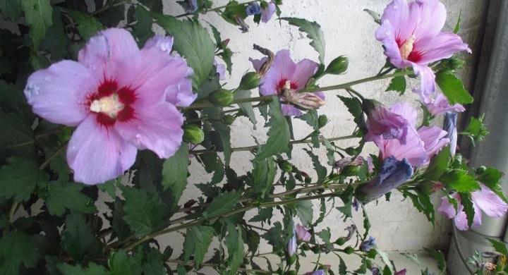 semienka sýrskeho ibišteku - Obrázok č. 1