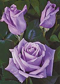"""Míša & Lubik aneb přípravy na den """"D""""  - 30.4.2011 - Takovou barvu růží si představuji, jestli ale budou, to nevím....."""