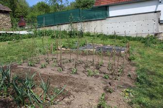 zasadene priesady paprika, rajciny, feferony, chilli, barani roh...