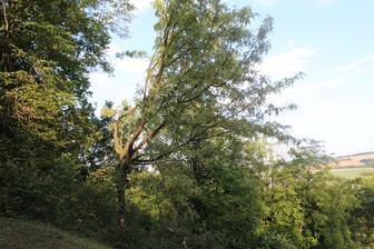 oskoruša, neni moc v dobrom stave tusim, z vrchu do nej zasahoval iny strom, ten uz som trochu ocesal, tak hadam sa oskorusa da trochu dokopy
