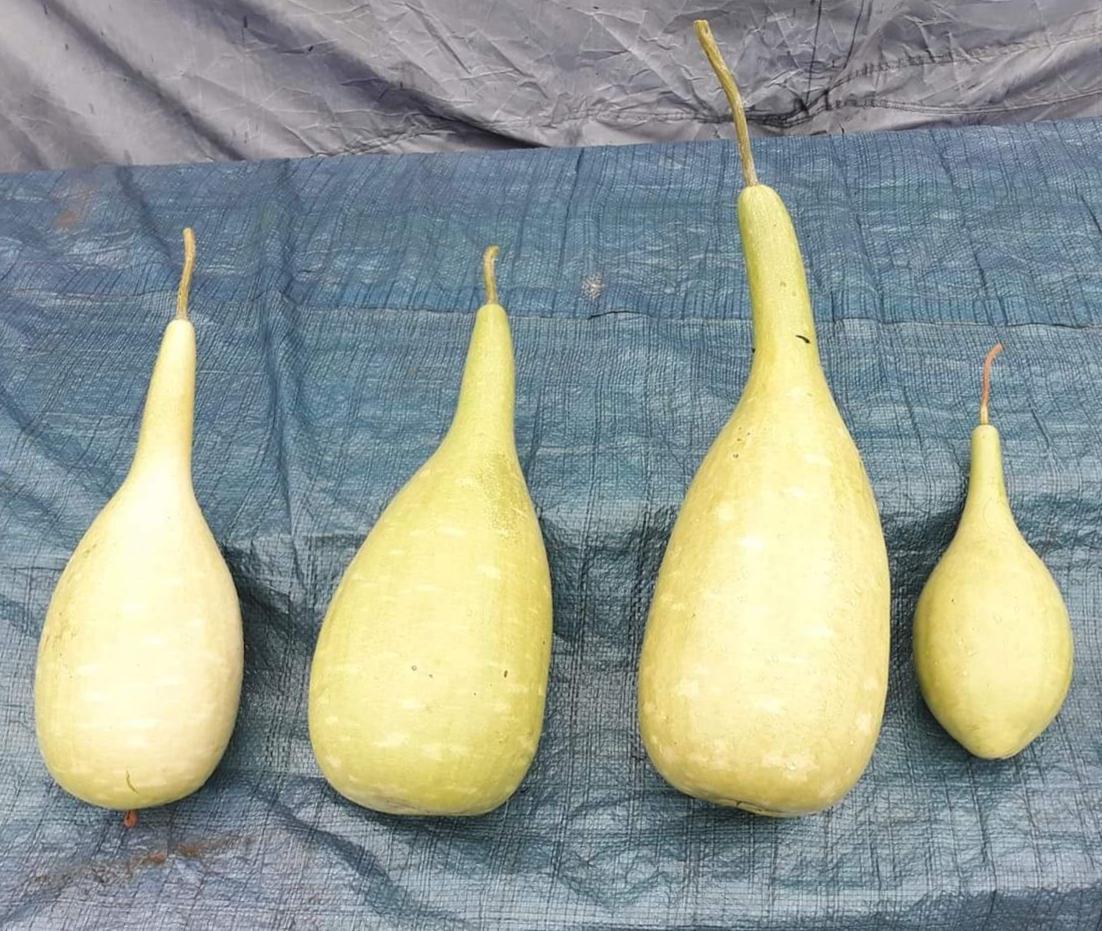 Lagenaria semená - Obrázok č. 1