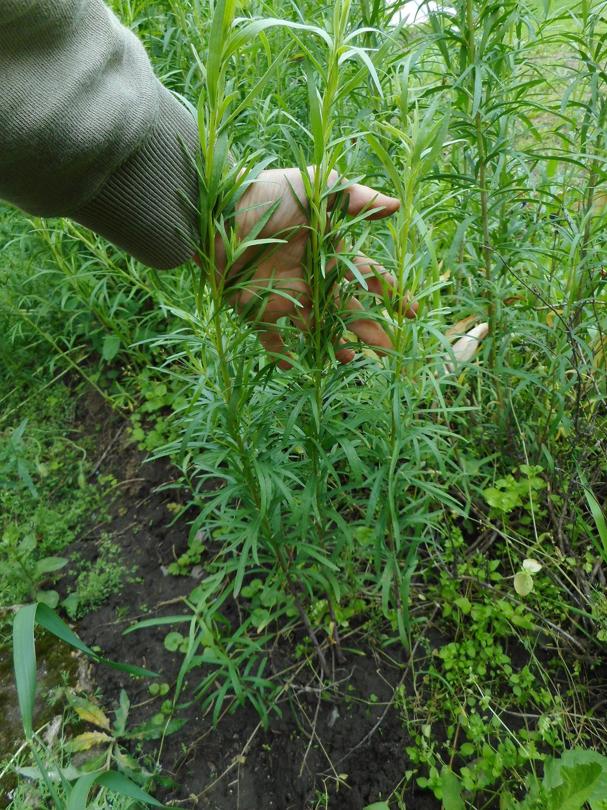 Estragón rastliny - Obrázok č. 1
