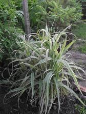 neviete ako sa volá táto tráva a ako sa pestuje?