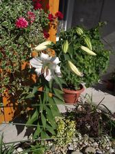 konečne kvitne ,,minulý rok kupena v kvetináči a takato velka narástla v zemi