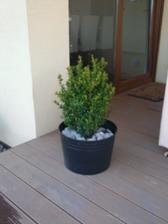 buxus - na terase